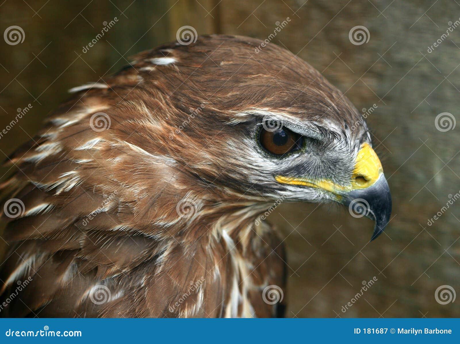 El perfil de los halcones