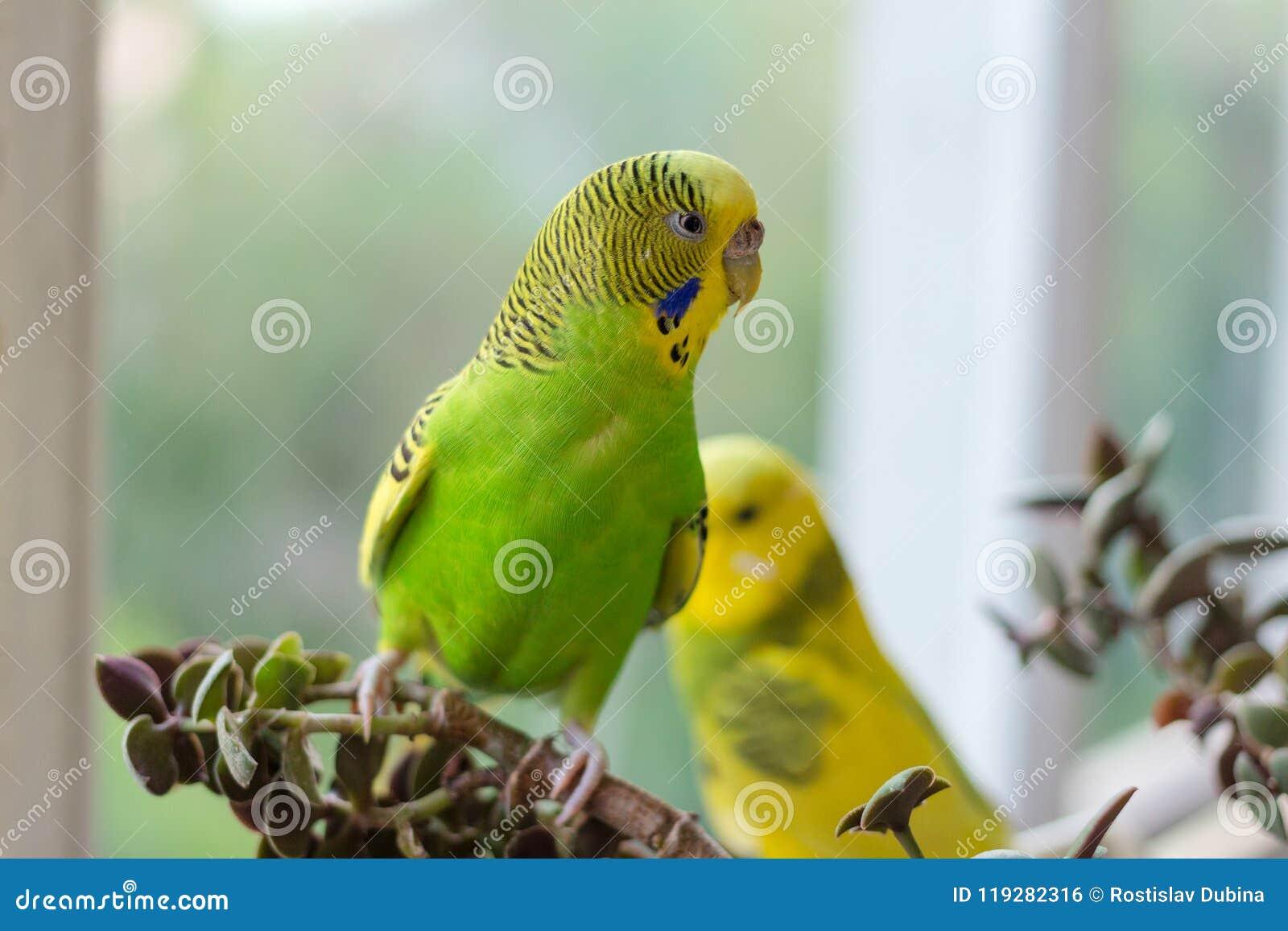 El periquito se sienta en una rama El loro es brillantemente citrino El loro del pájaro es un animal doméstico Hermoso, loro ondu
