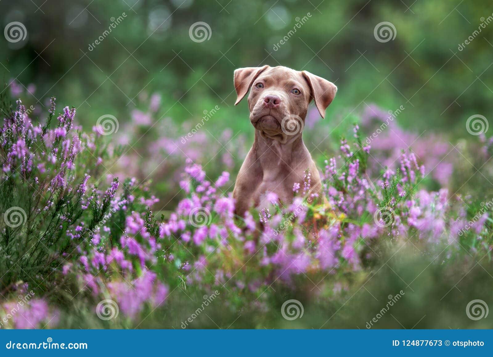 El perrito americano del terrier de pitbull que presenta en brezo florece