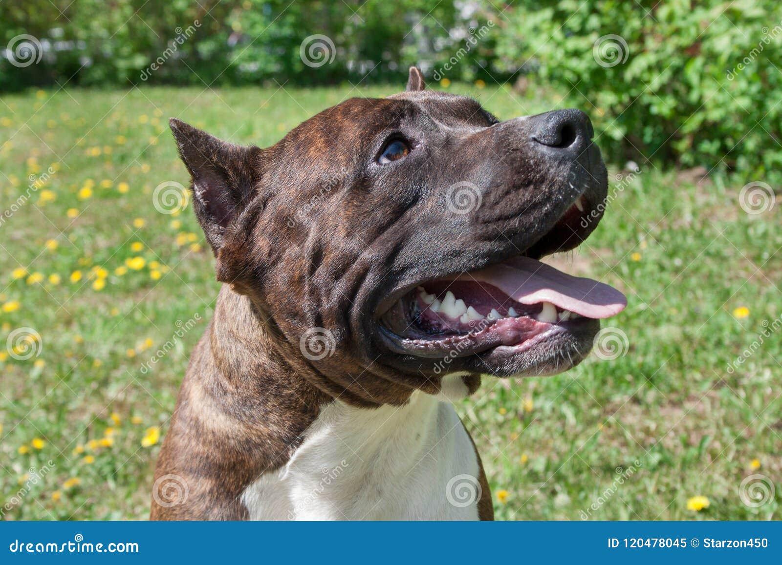 El perrito del terrier de Staffordshire americano se está colocando con holgazanear la lengua Cierre para arriba
