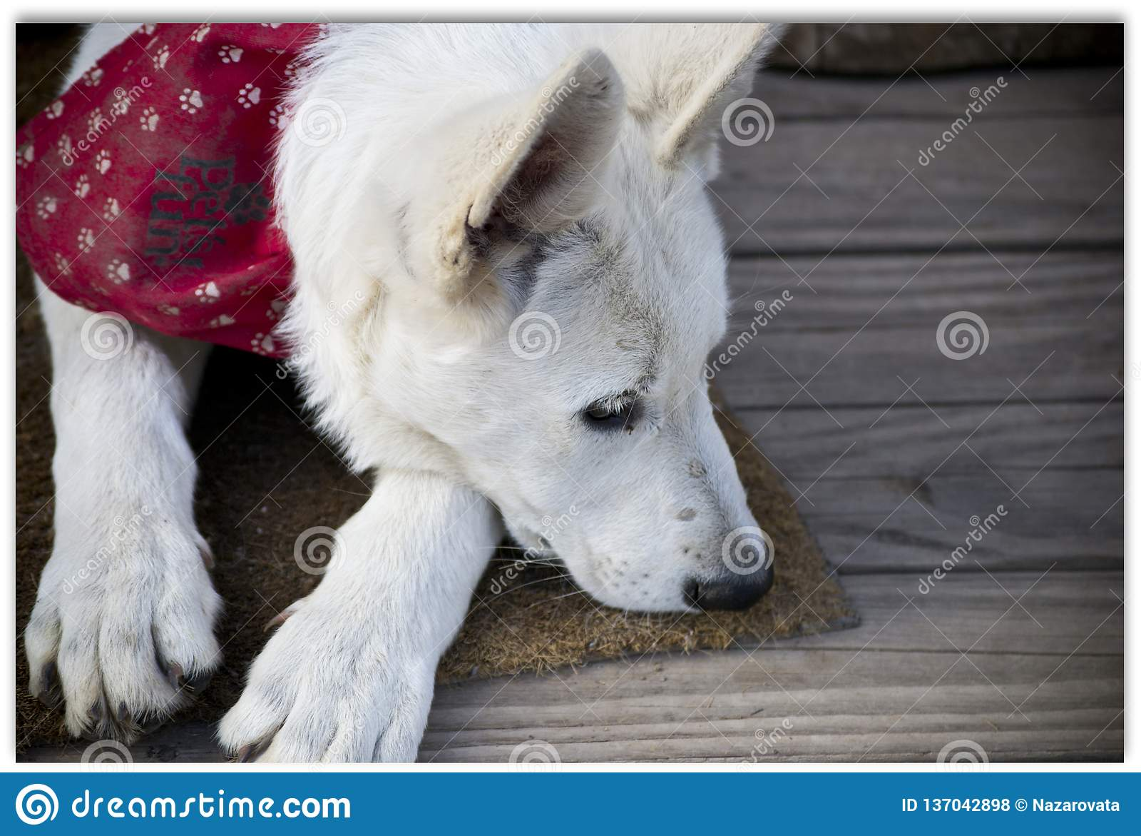 El perrito puso su cabeza en el piso