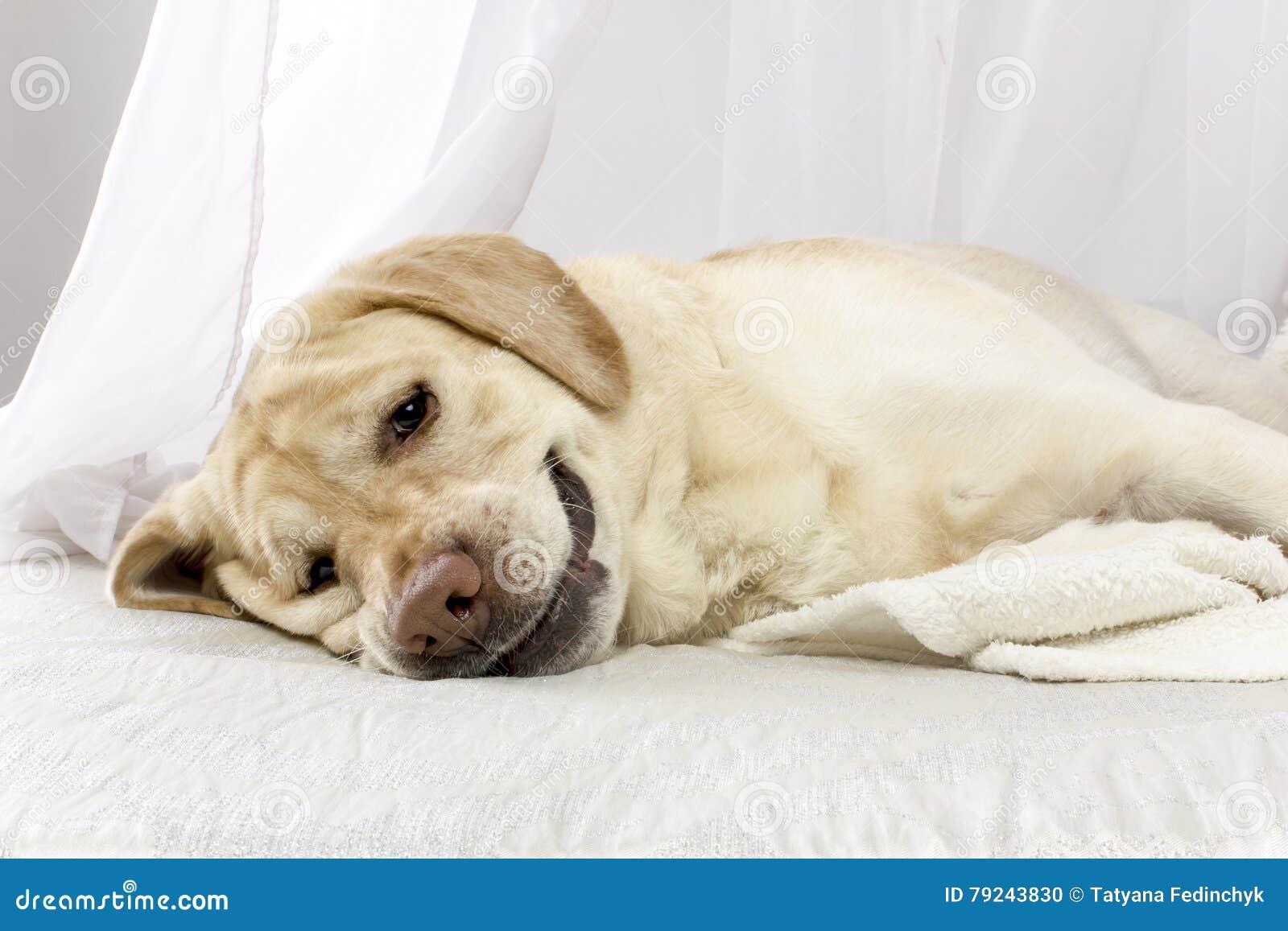 El perro cansado está mintiendo en la cama