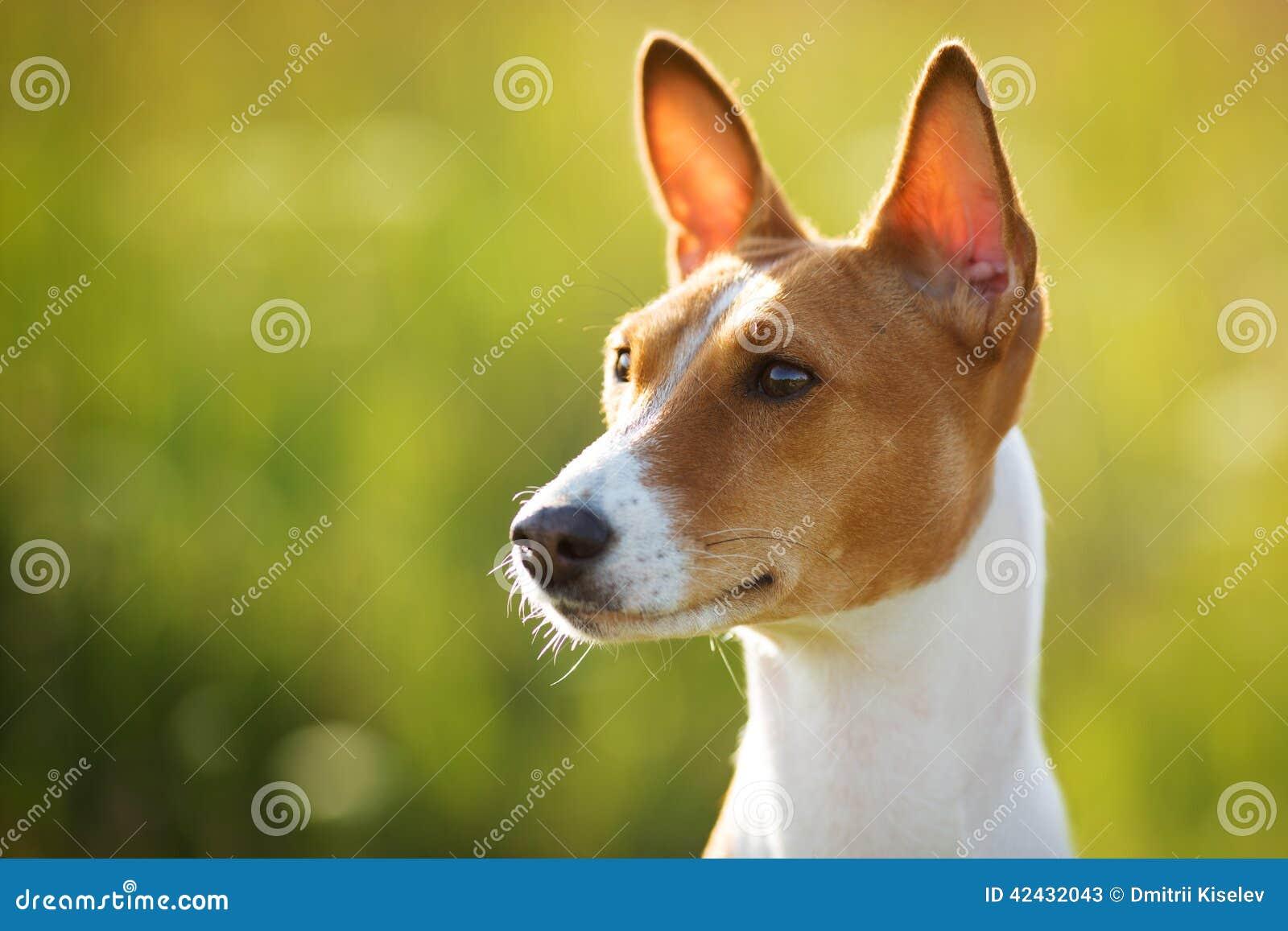 El perro Castaña-espigado mira en alguna parte