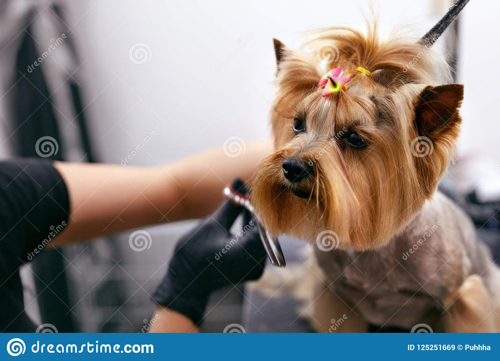 El perro consigue el pelo para cortar en el salón de la preparación del balneario del animal doméstico Primer del perro