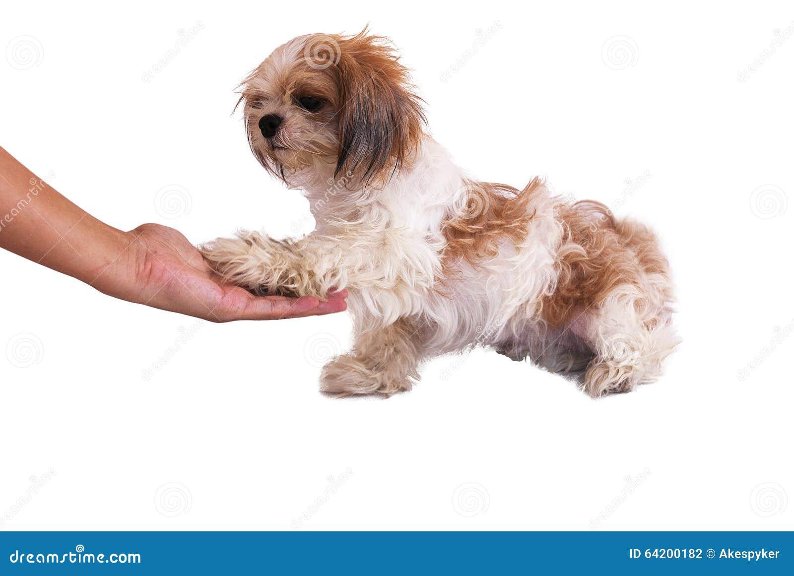 El perro da la mano aislada en blanco