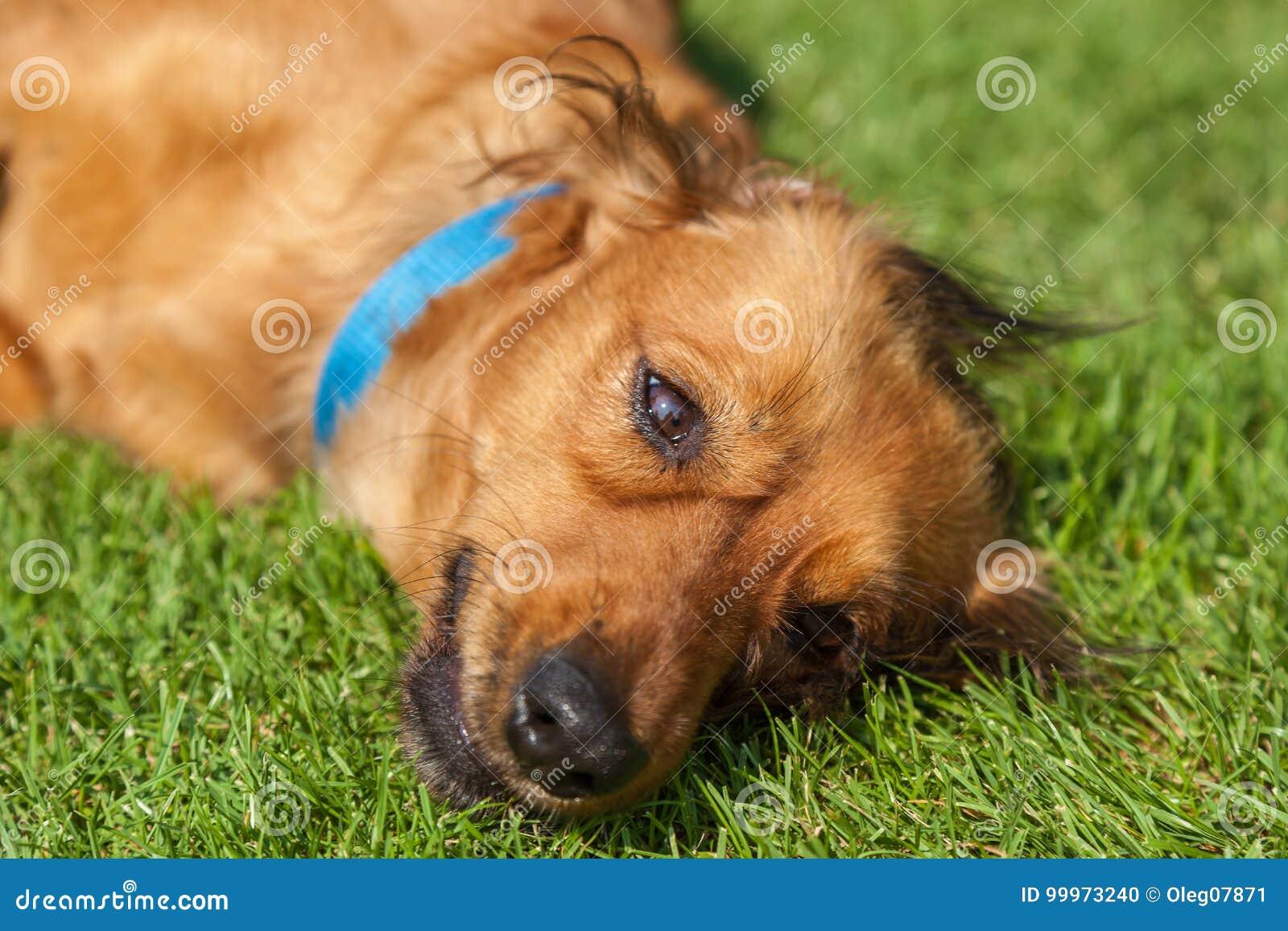 El perro de aguas mezclado persigue el perro de aguas