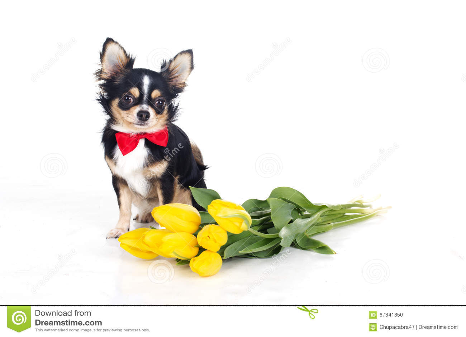 perro chihuahua fondo de - photo #35