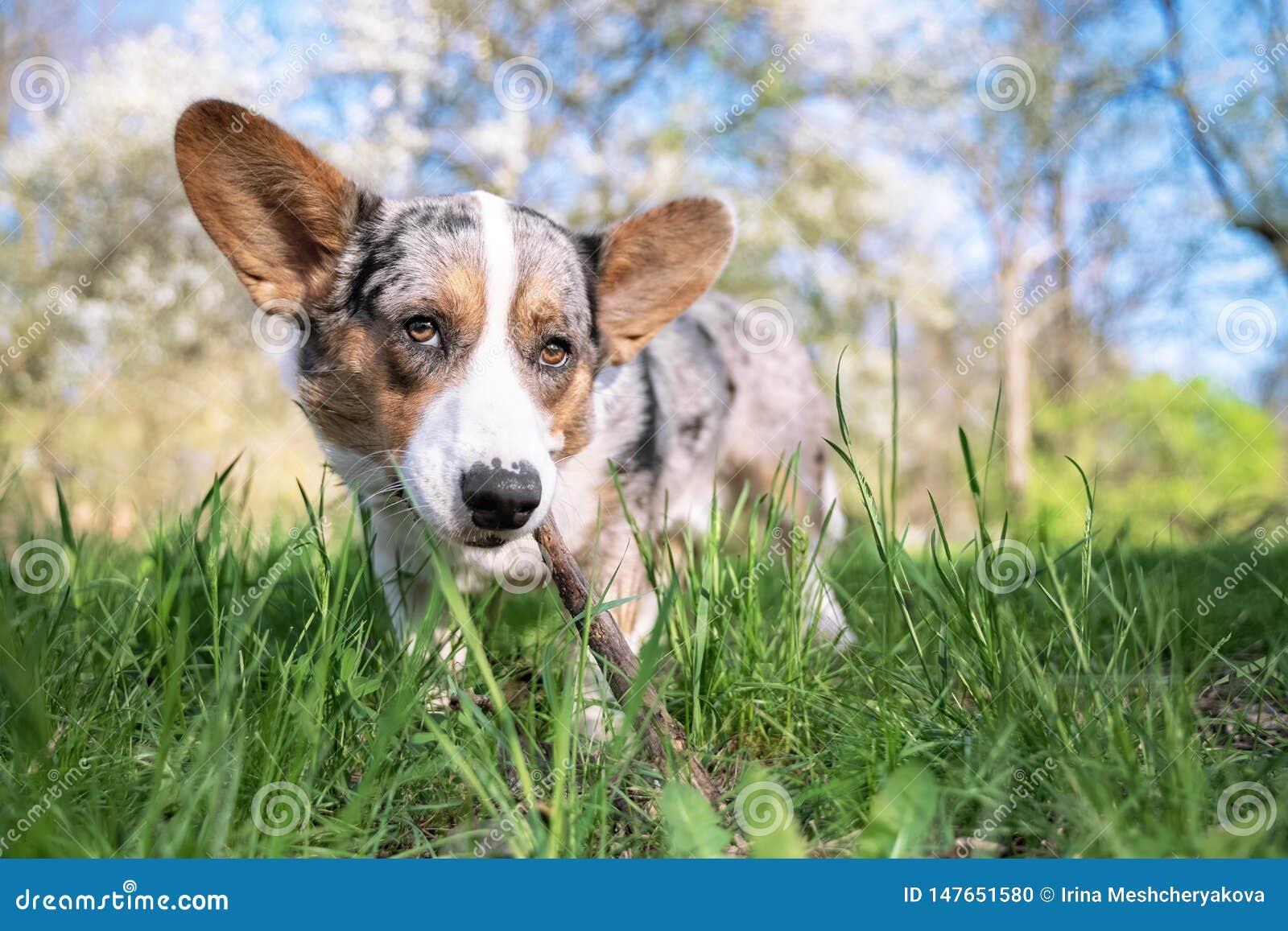 El perro de la rebeca del corgi gal?s del Pembroke en el parque en un fondo de ?rboles verdes en un d?a soleado mordisca una rama