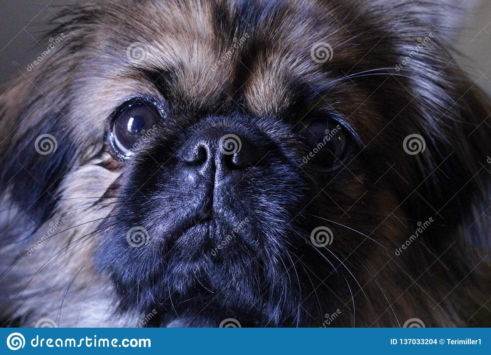 El perro dulce del pekinés nombró Tater