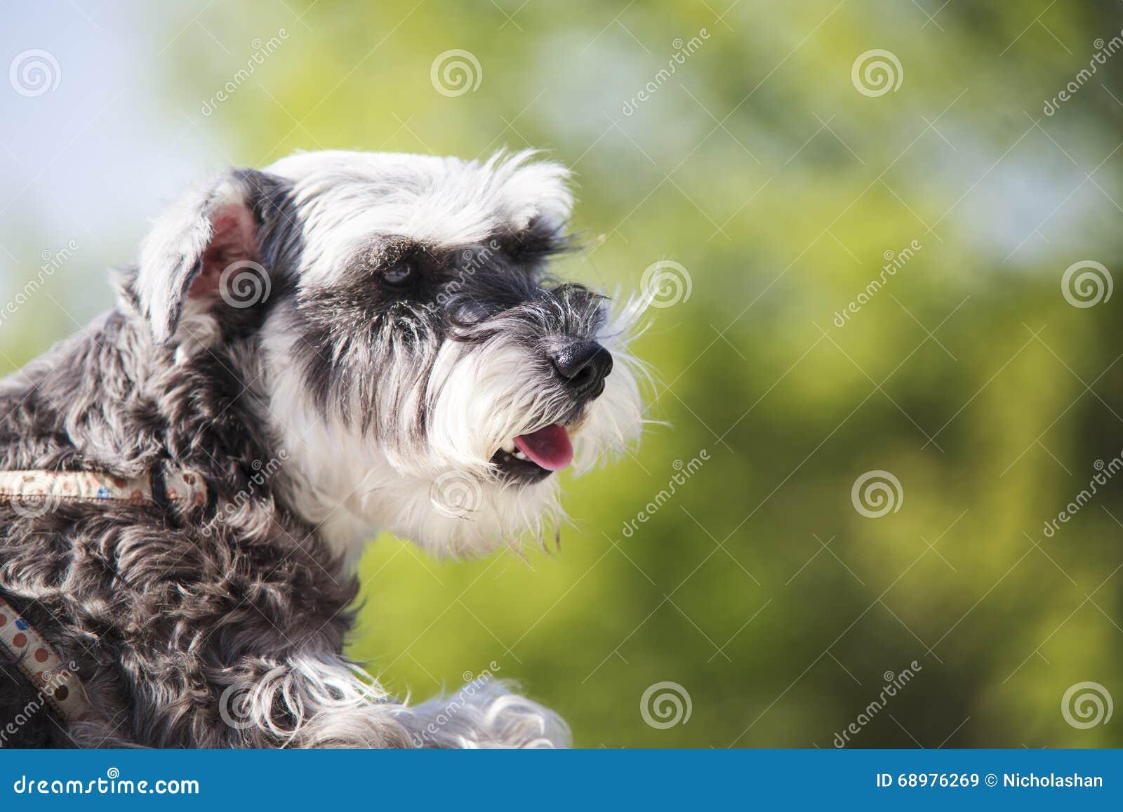 El perro dulce del Schnauzer con los oídos divertidos sonríe con el fondo agradable