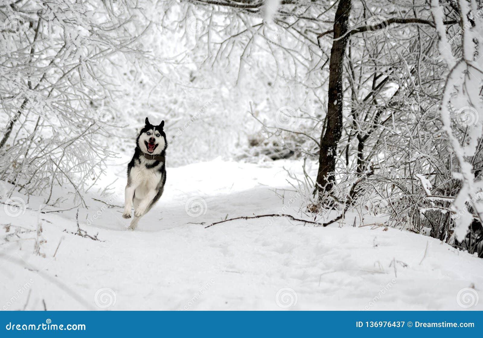 El perro esquimal divertido de la raza del perro corre a través del bosque nevoso