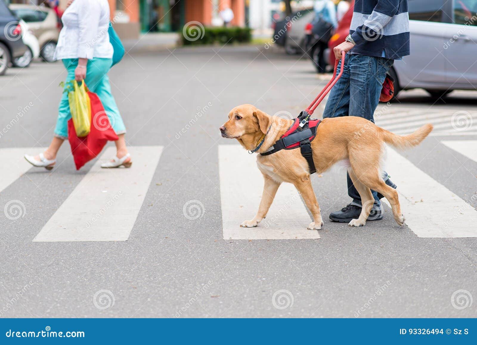 El perro guía está ayudando a un hombre ciego
