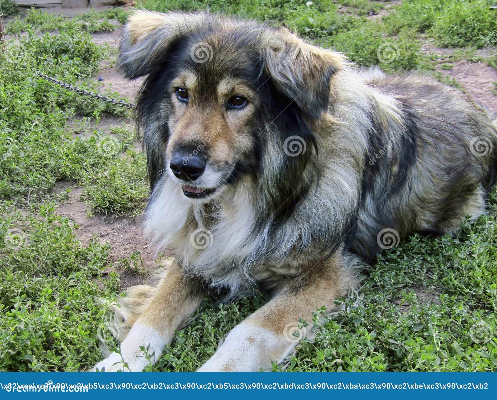 El perro hermoso Jack pensó en algo mientras que se sentaba en una cadena