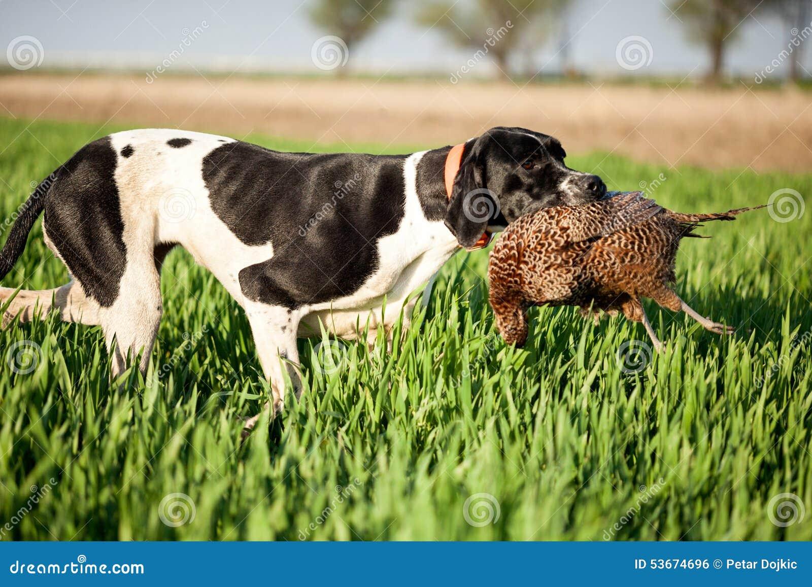 El perro inglés del indicador con ruega