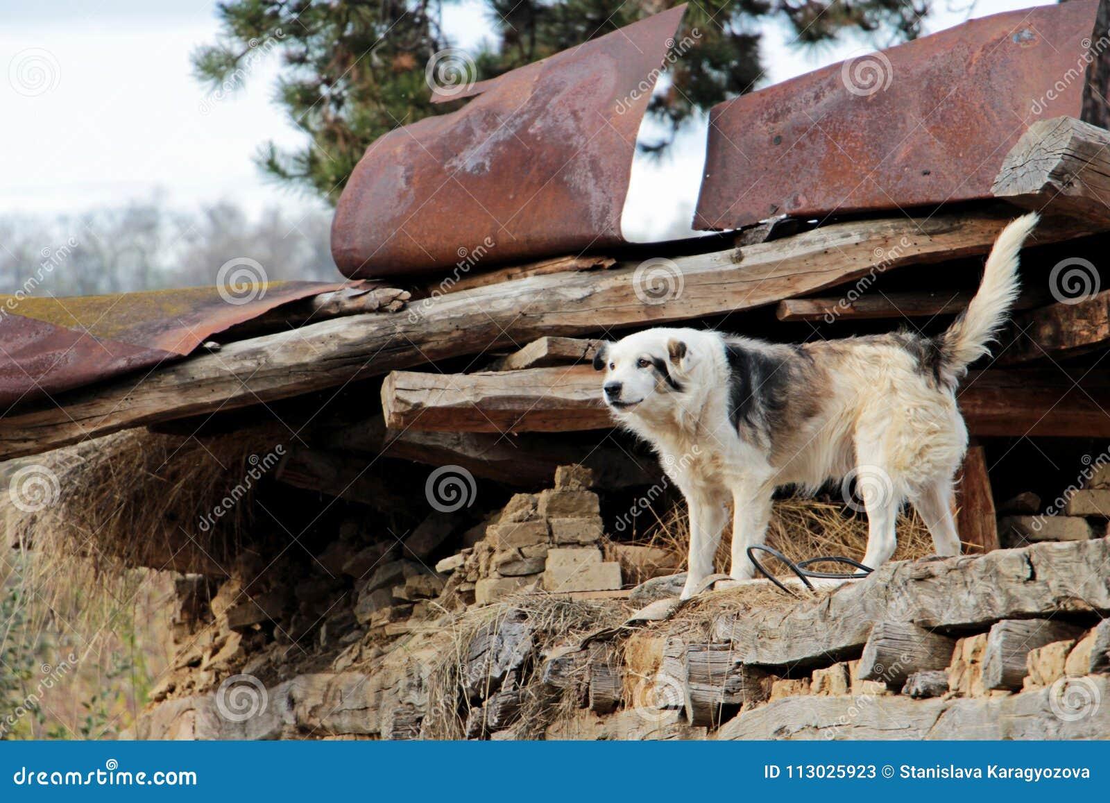 El perro manchado está protegiendo su propiedad