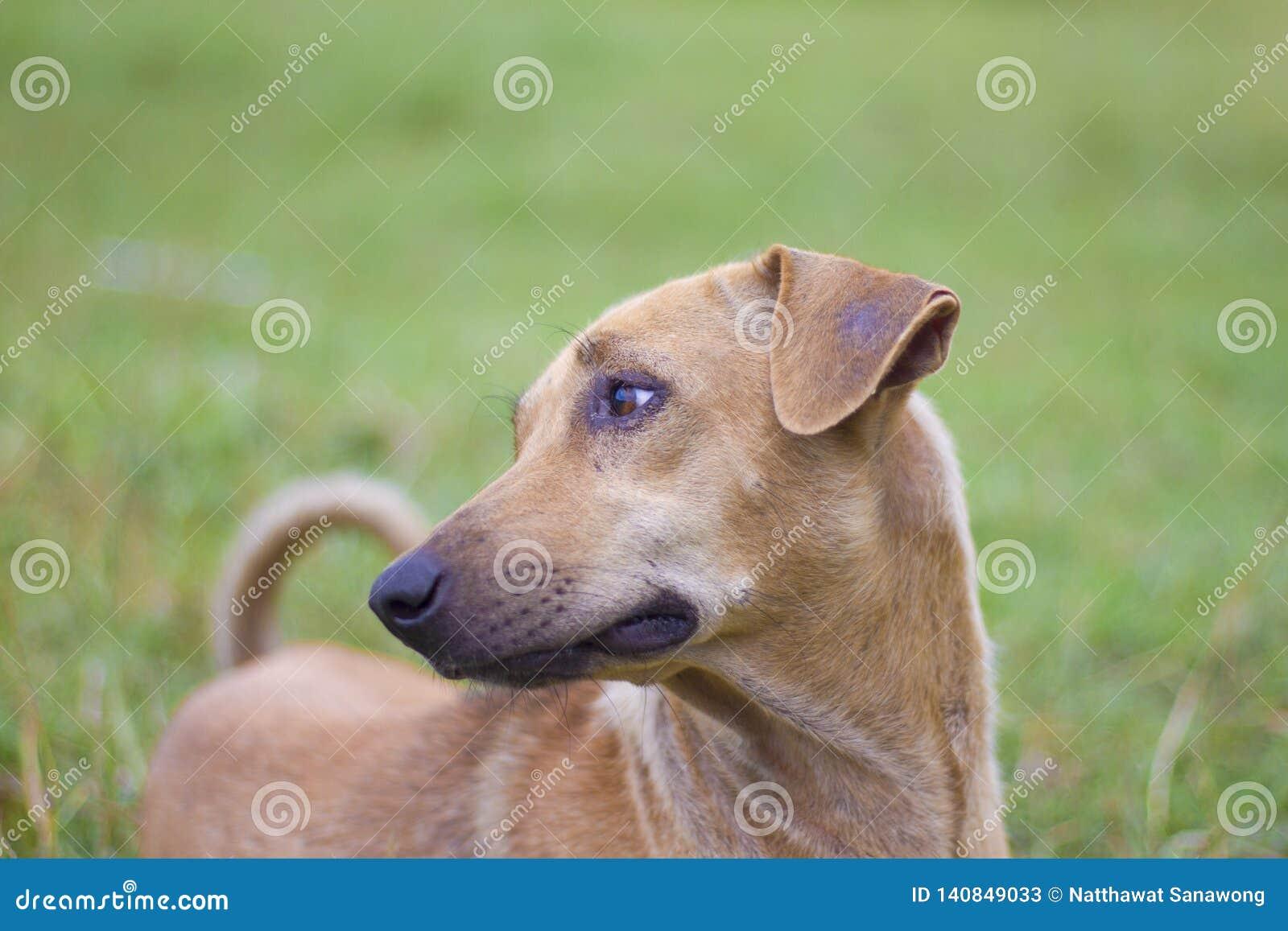 El perro marrón masculino hizo una vista triste en el fondo natural del oro, del cielo y de montañas