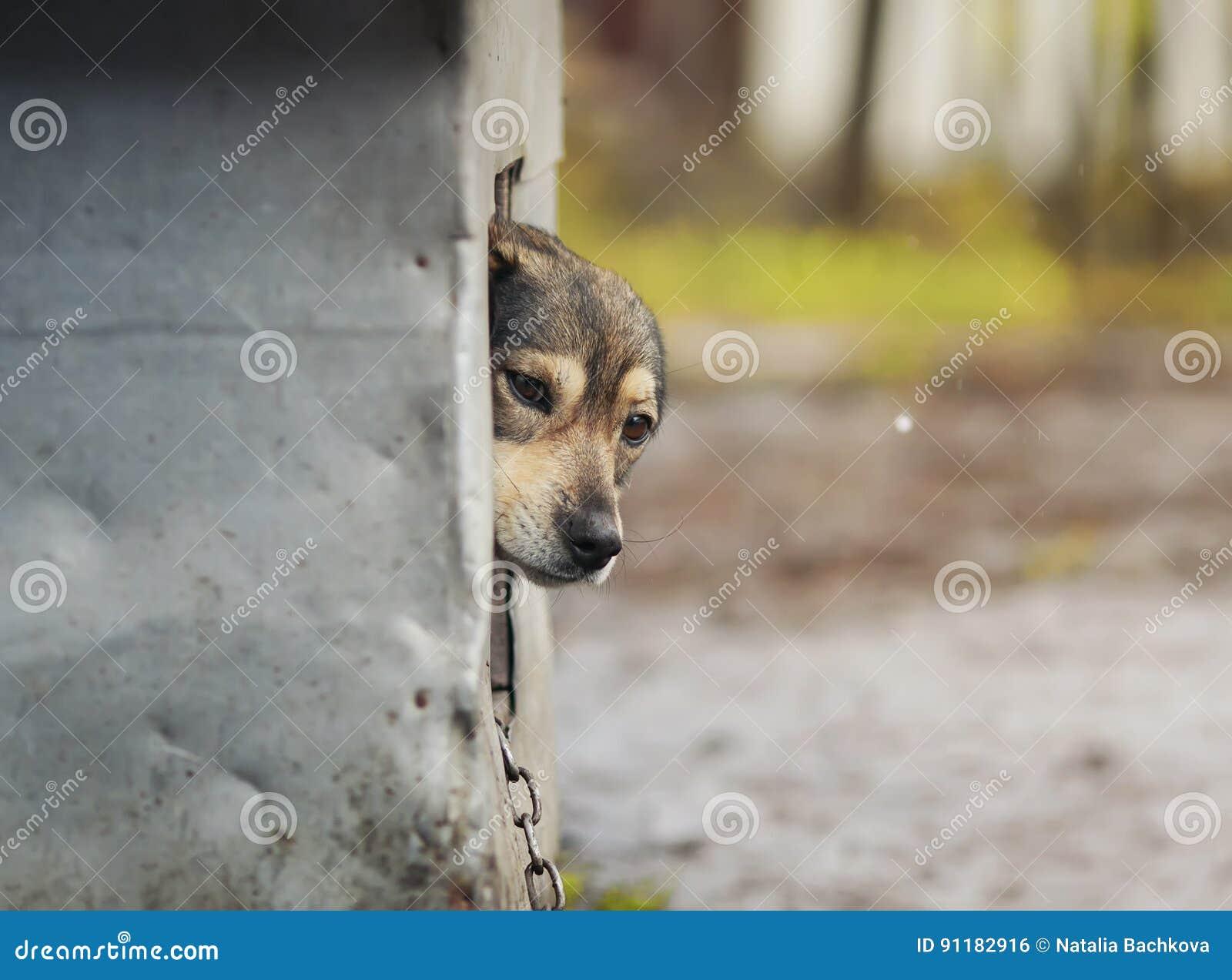 El perro mira ansiosamente fuera de la cabina y de parecer derecho