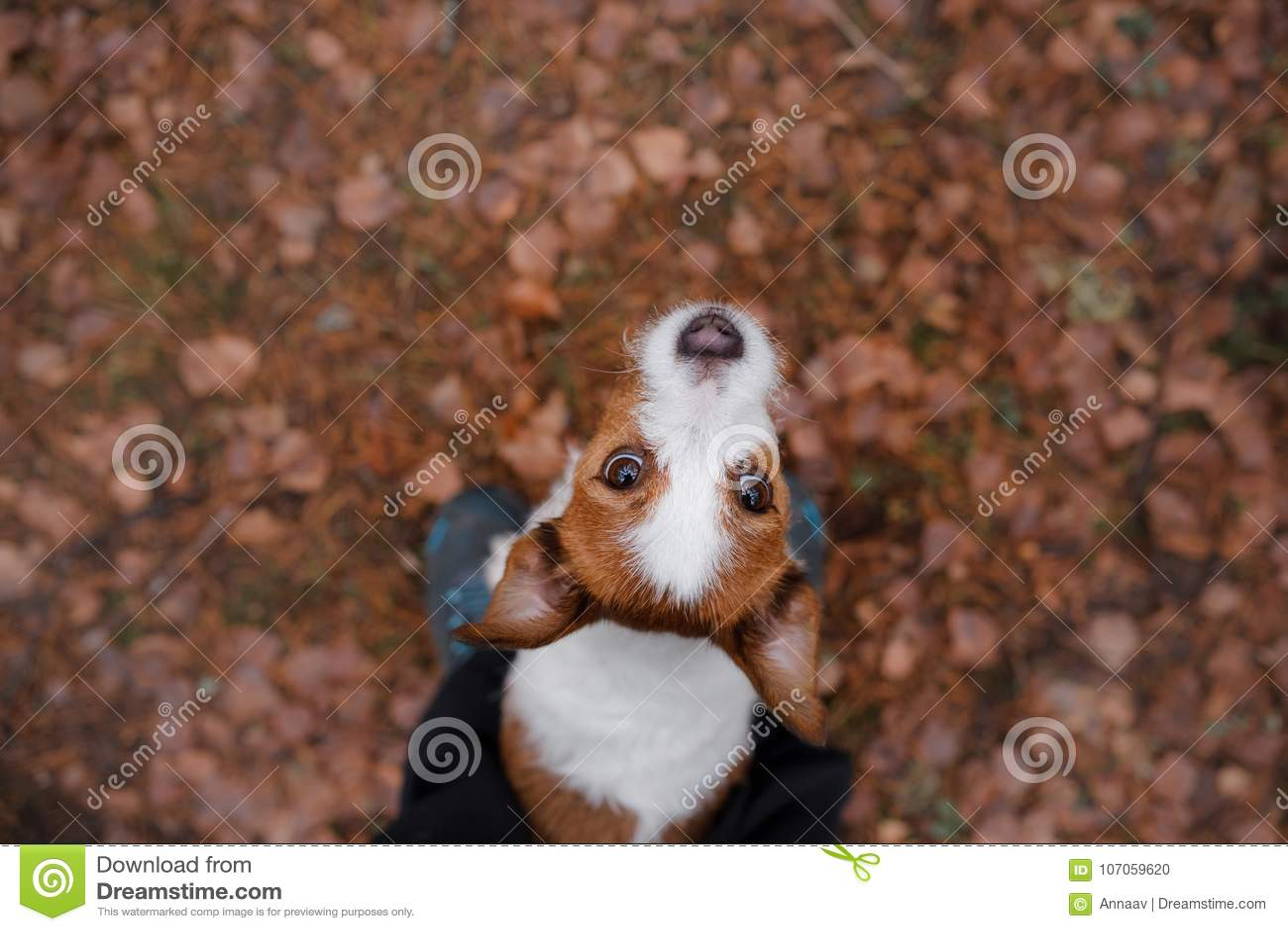 El perro mira para arriba Terrier de Gato Russell al aire libre