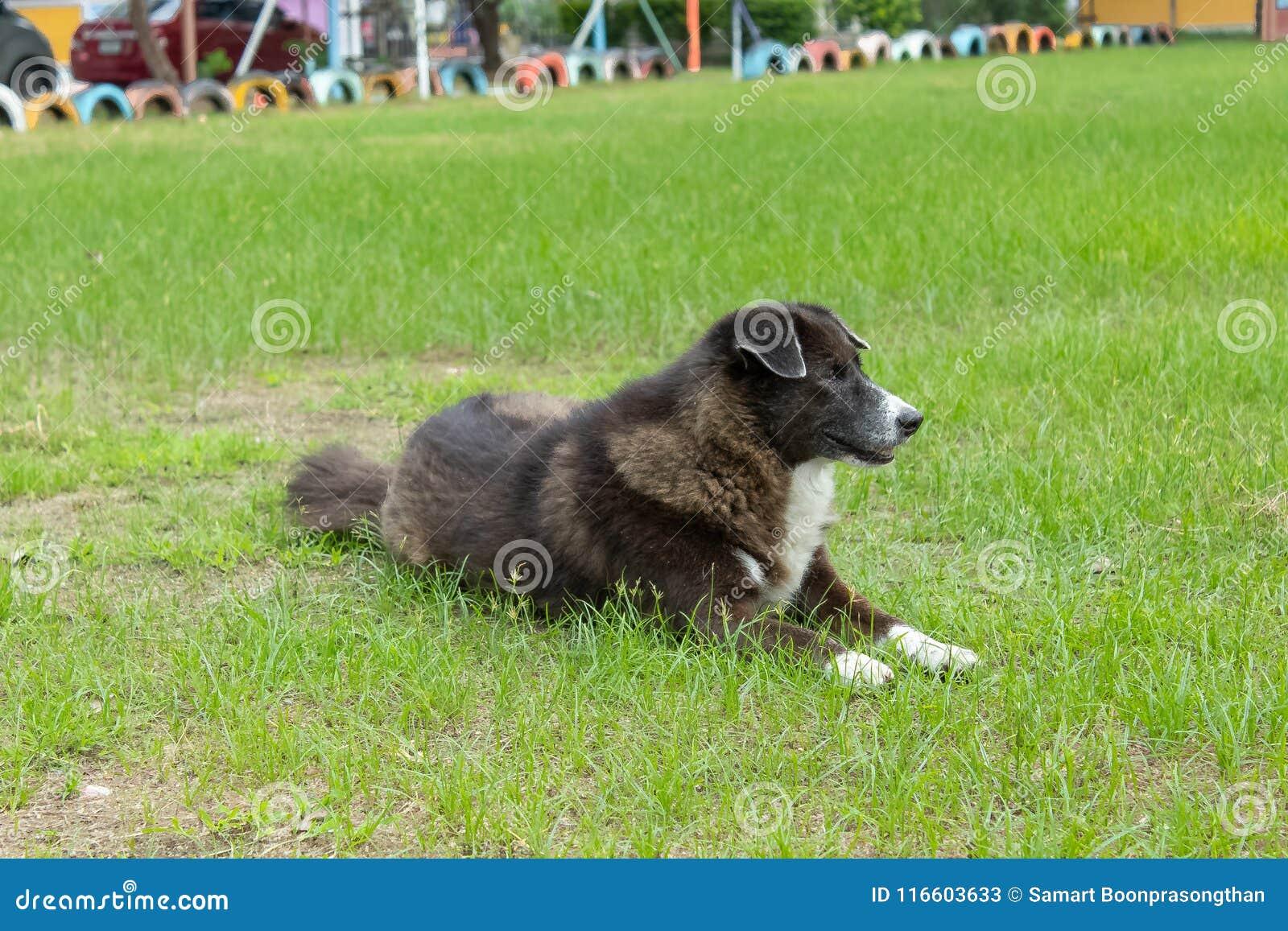 El perro negro que pone en el césped