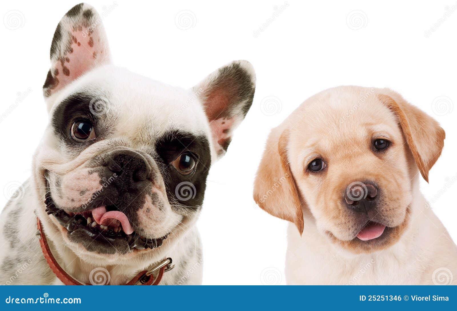 El perro perdiguero de Labrador y el toro francés persiguen perros de perrito