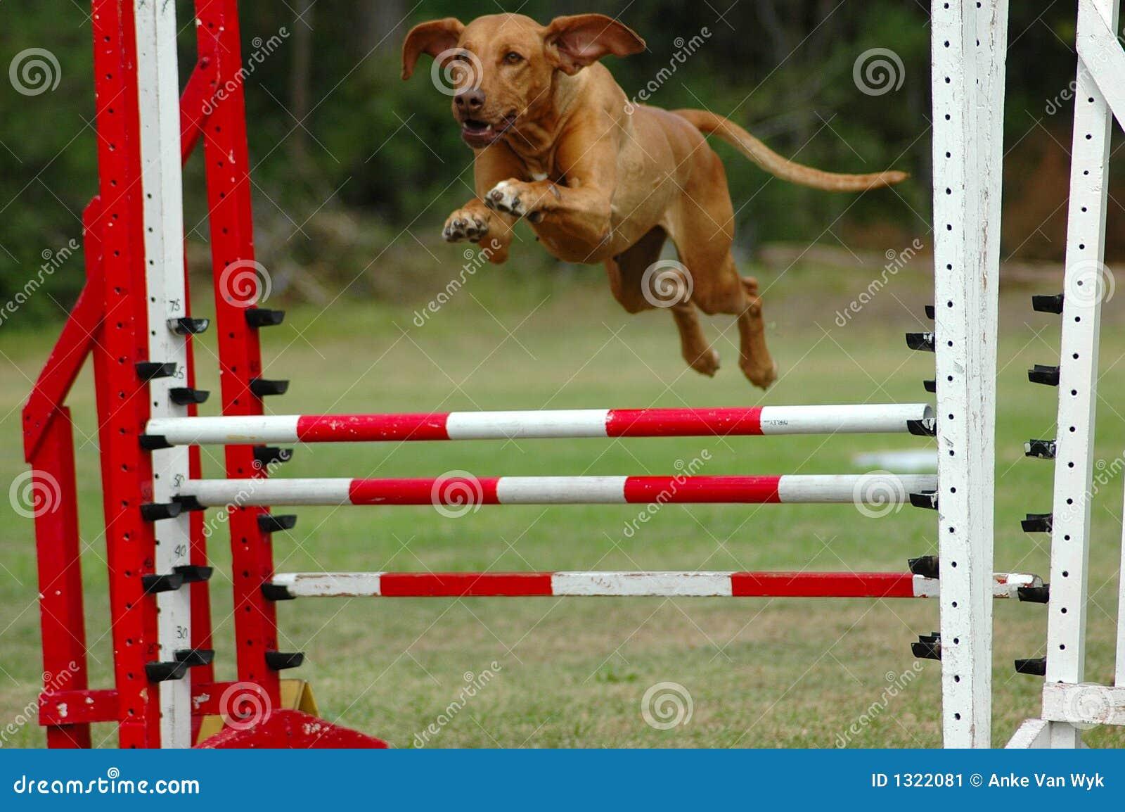 El perro que salta en agilidad