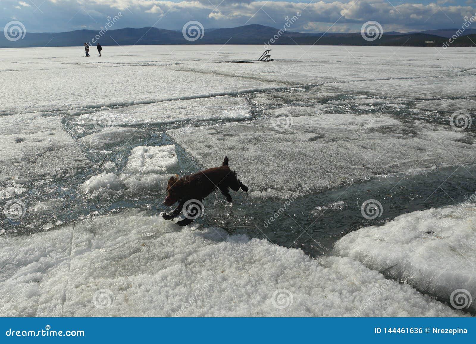 El perro salta de los leones al hielo durante la deriva del hielo en el lago