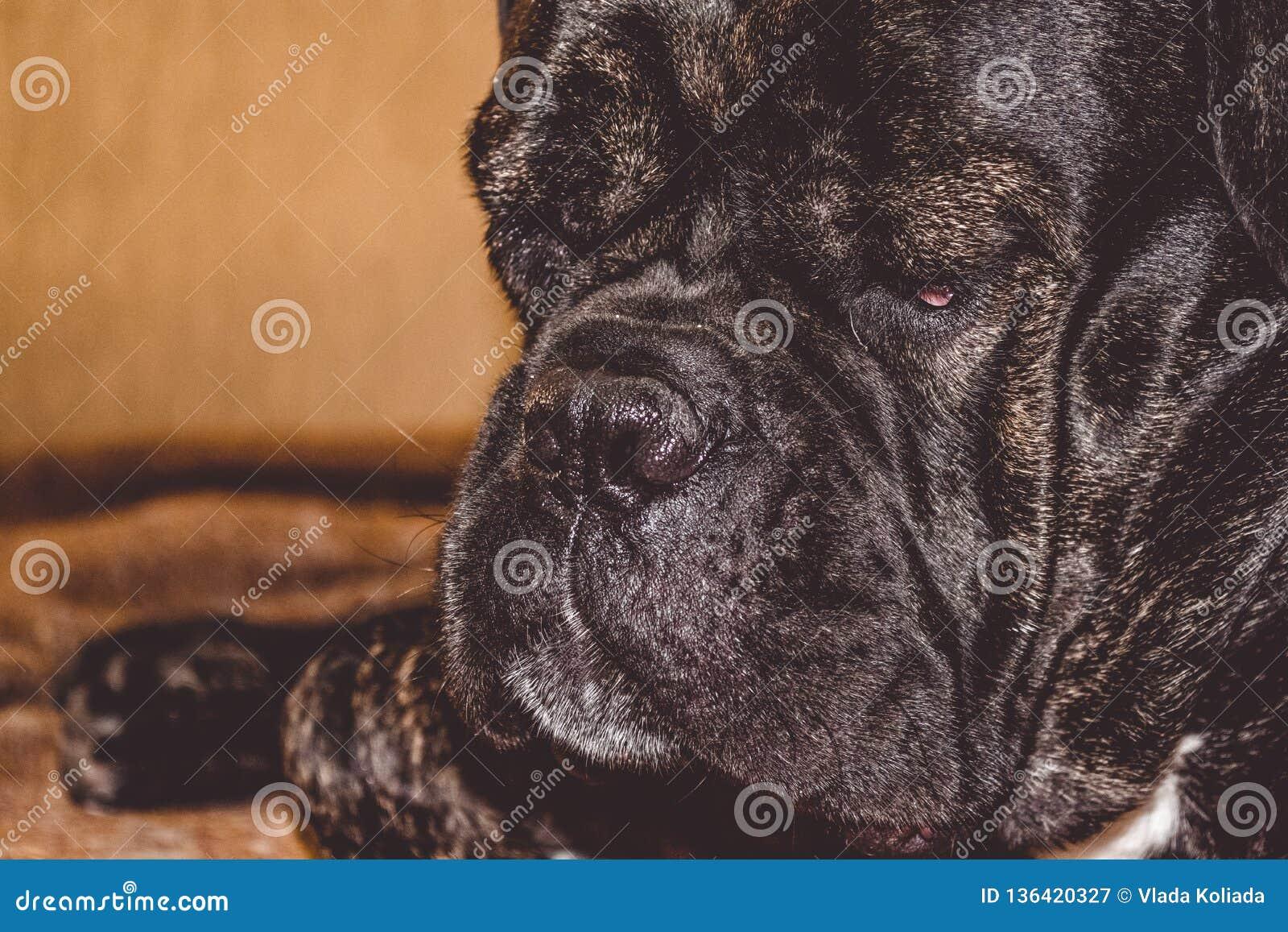 El perro soñoliento grande y negro miente en casa Raza de Kan Corso, dogo francés Bozal precioso pet