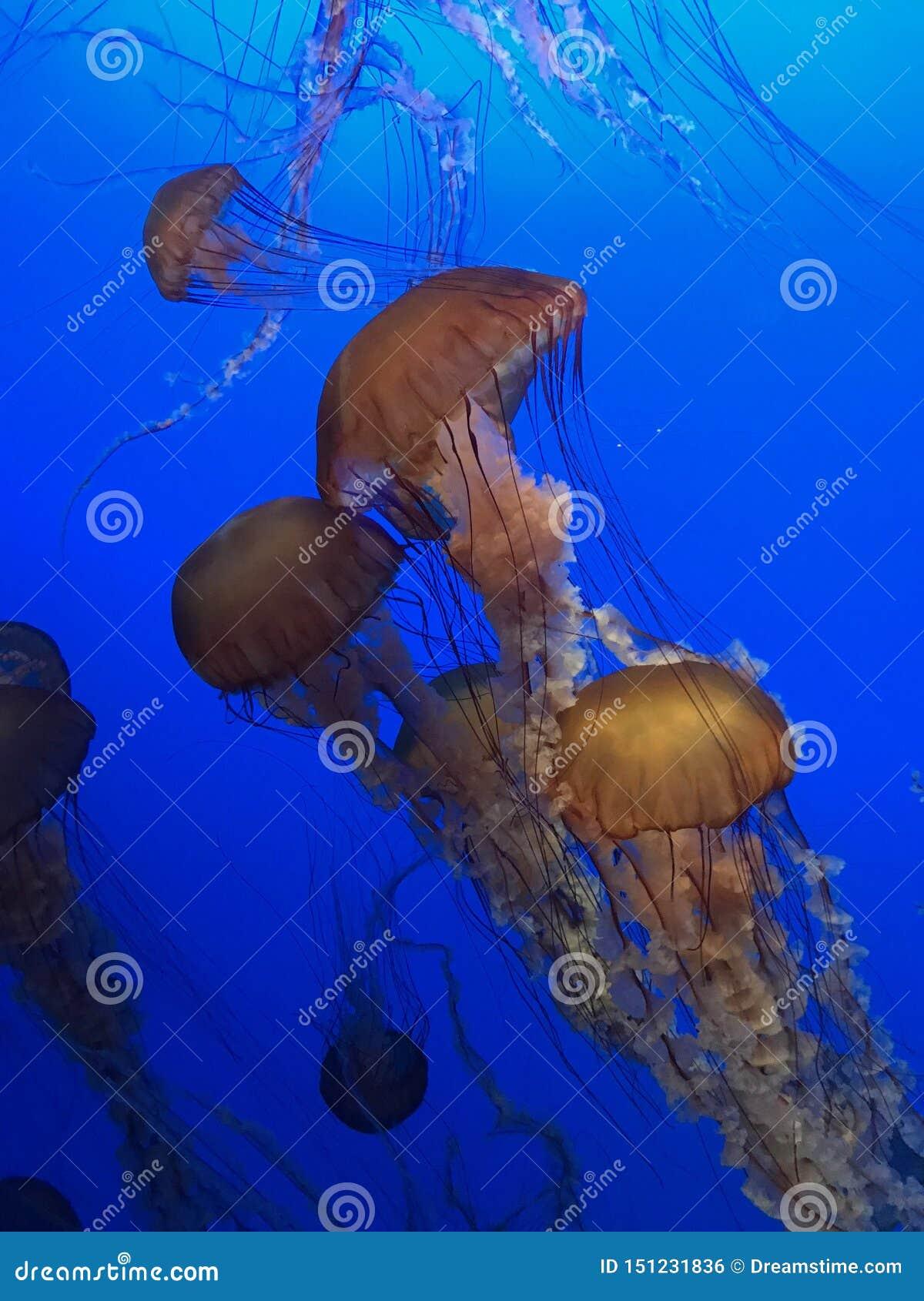 El pescado de jalea de la ortiga del mar se menea alrededor en su recinto