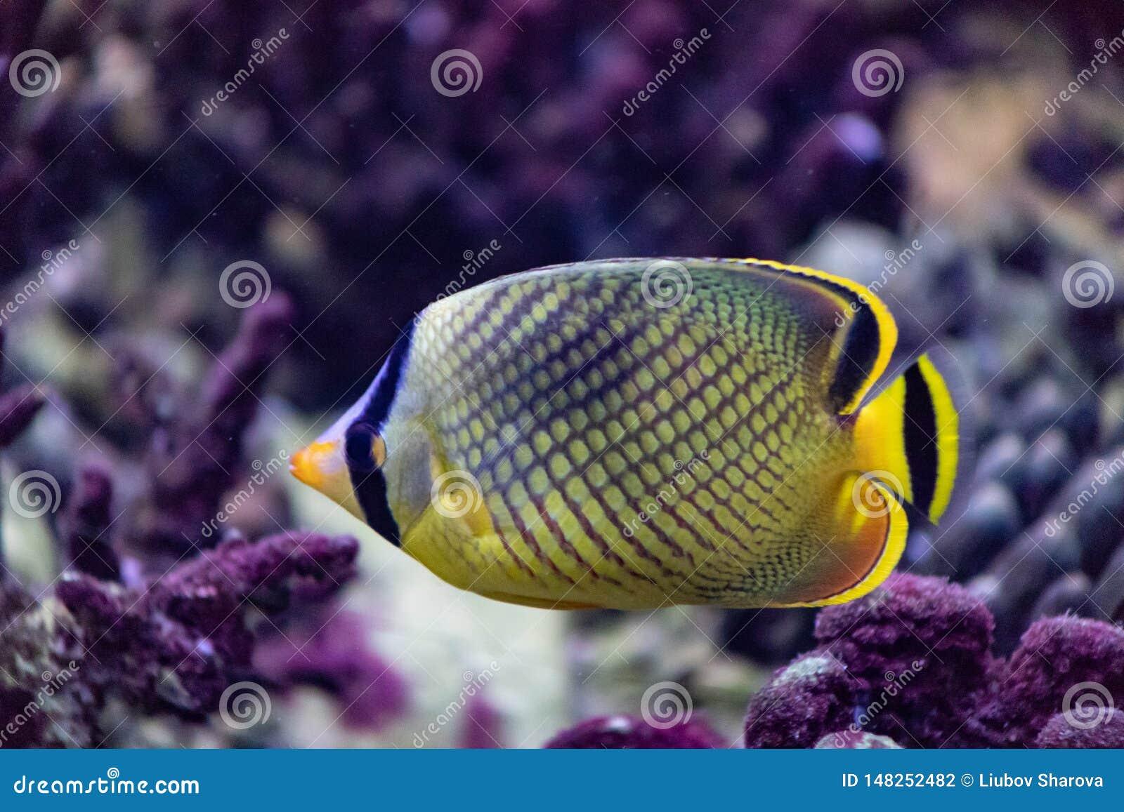 El pescado de la mariposa es un pescado de mar brillante que vive principalmente en los arrecifes de coral