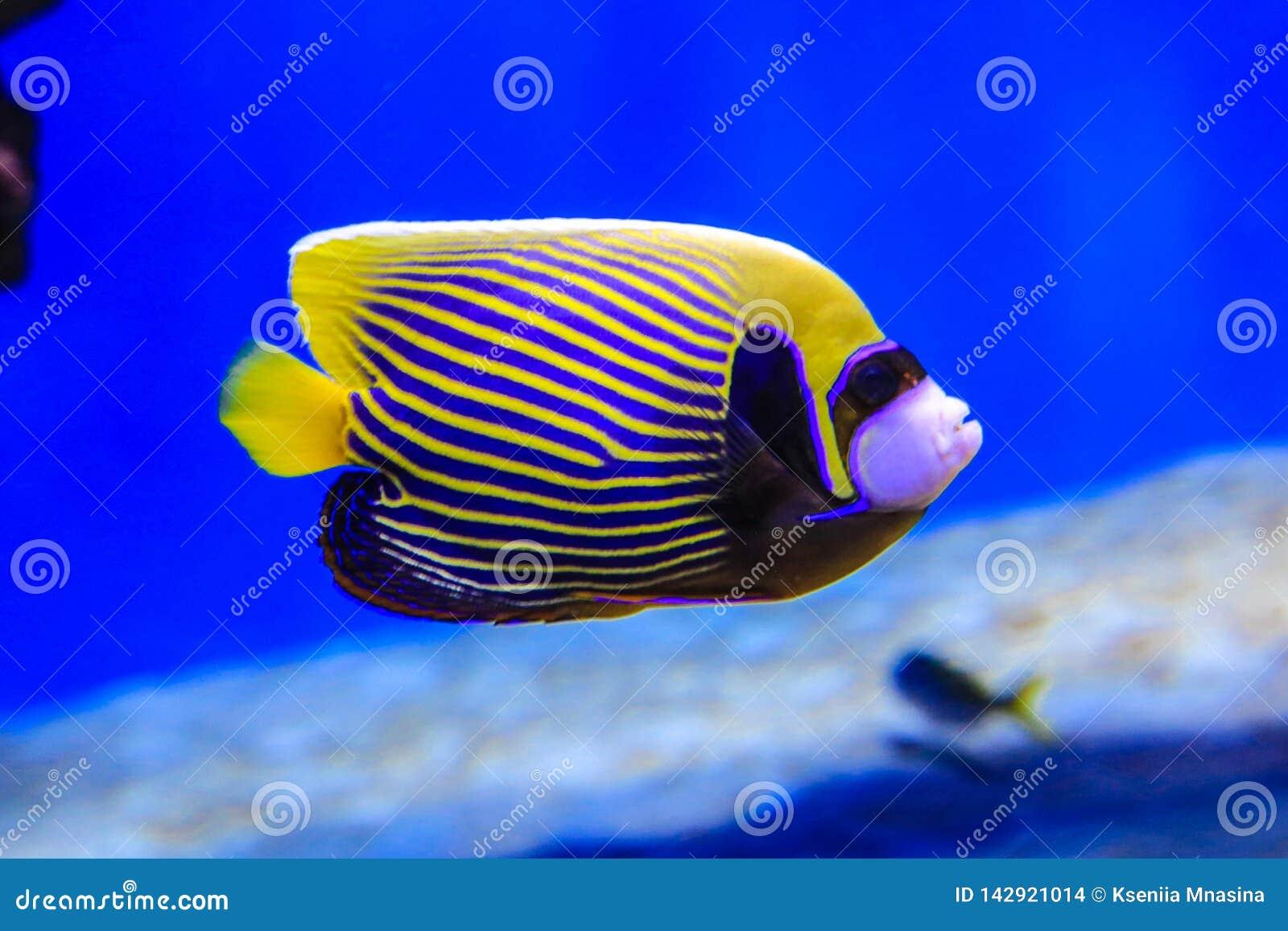 El pescado de la mariposa nada en agua azul en el fondo coralino