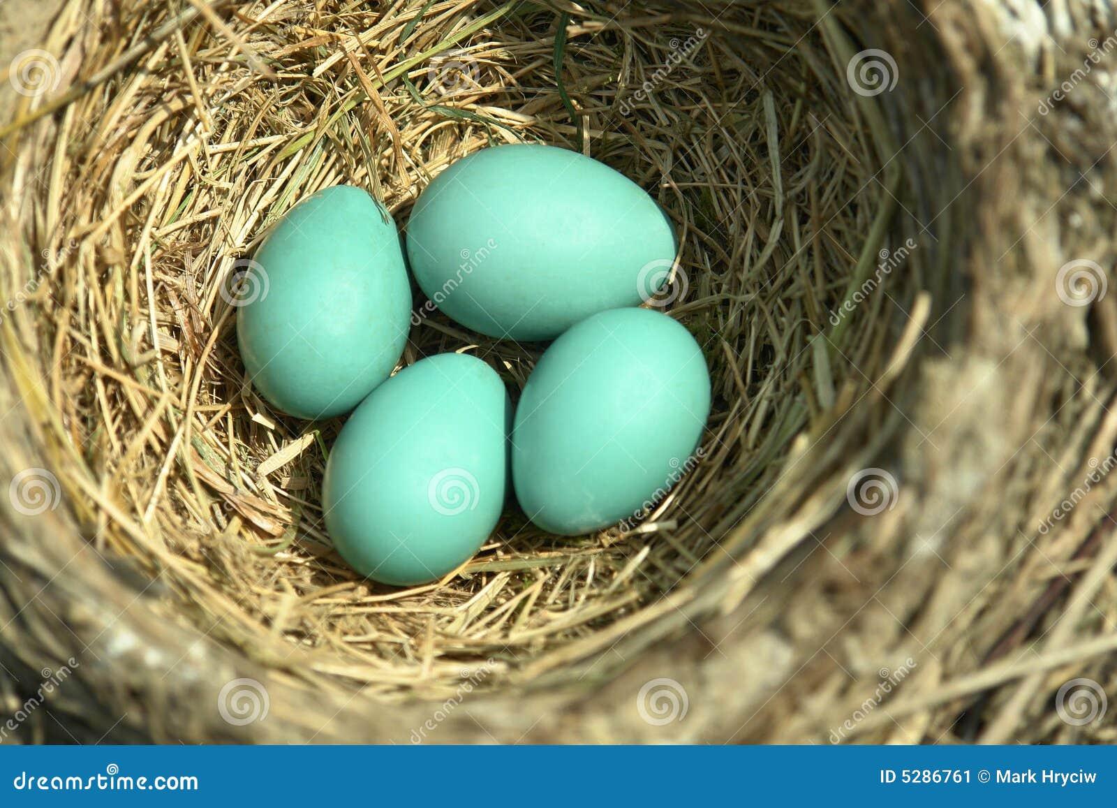 El petirrojo azul Eggs la jerarquía del pájaro