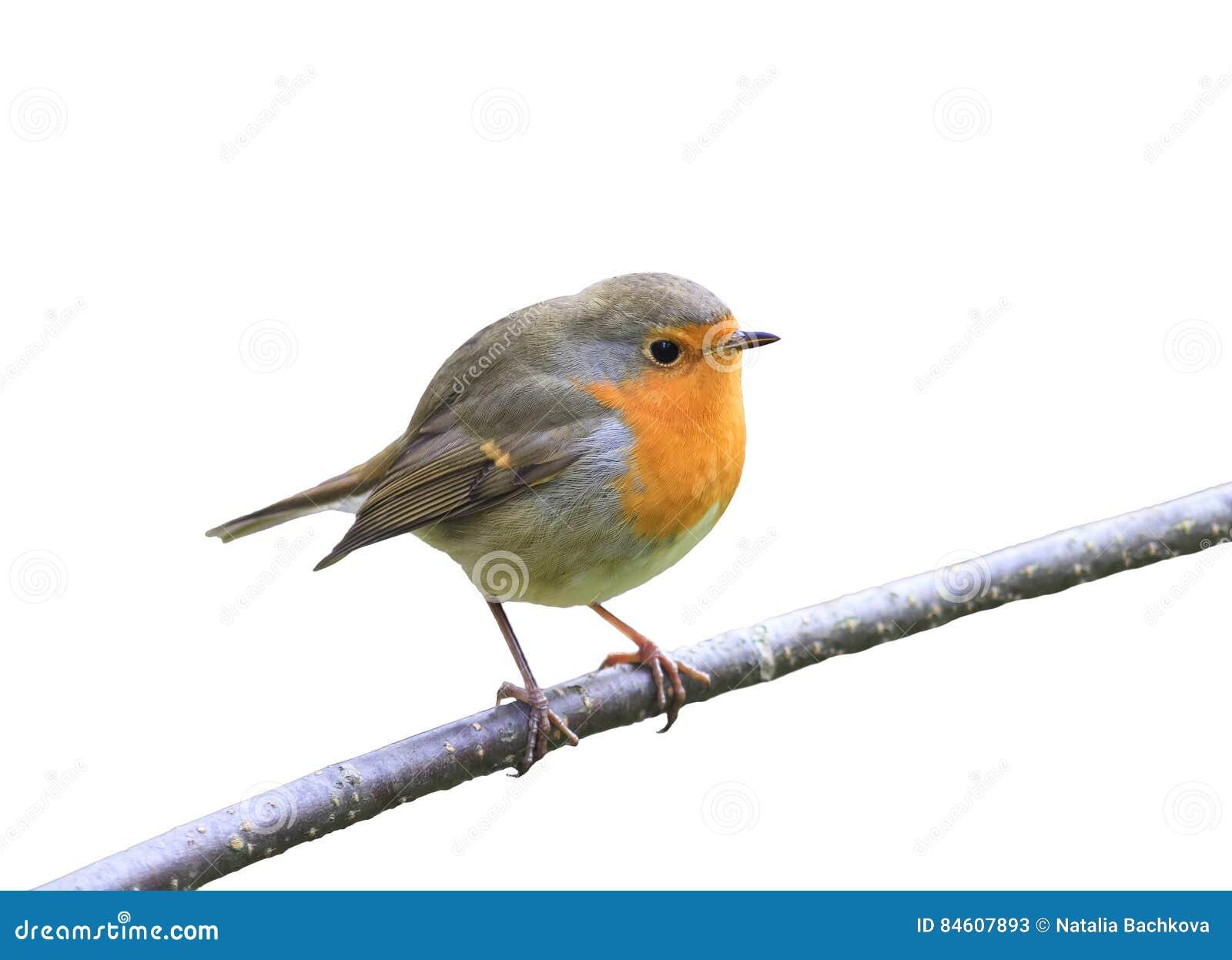 El petirrojo rojo del pájaro que se sentaba en una rama en el parque en un blanco aisló el fondo