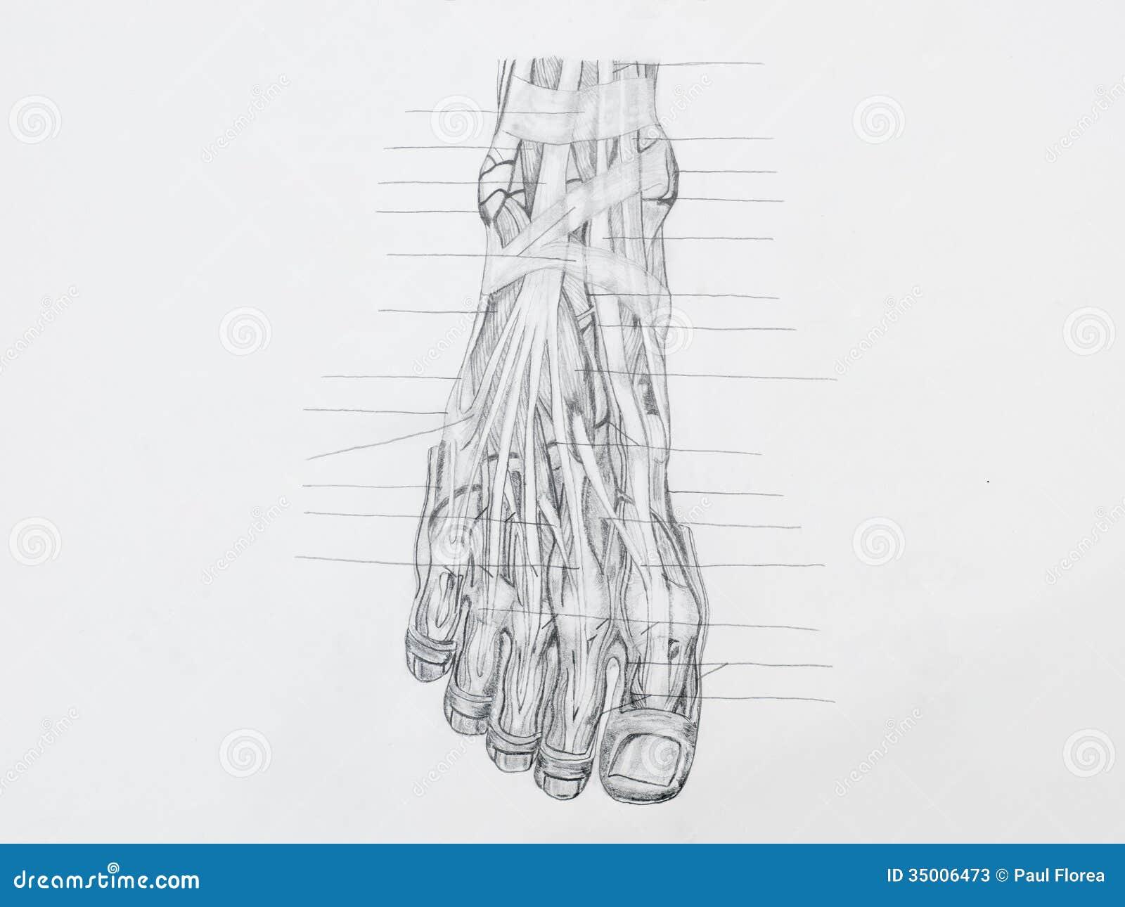 Tendones del pie ilustración del vector. Ilustración de superior ...