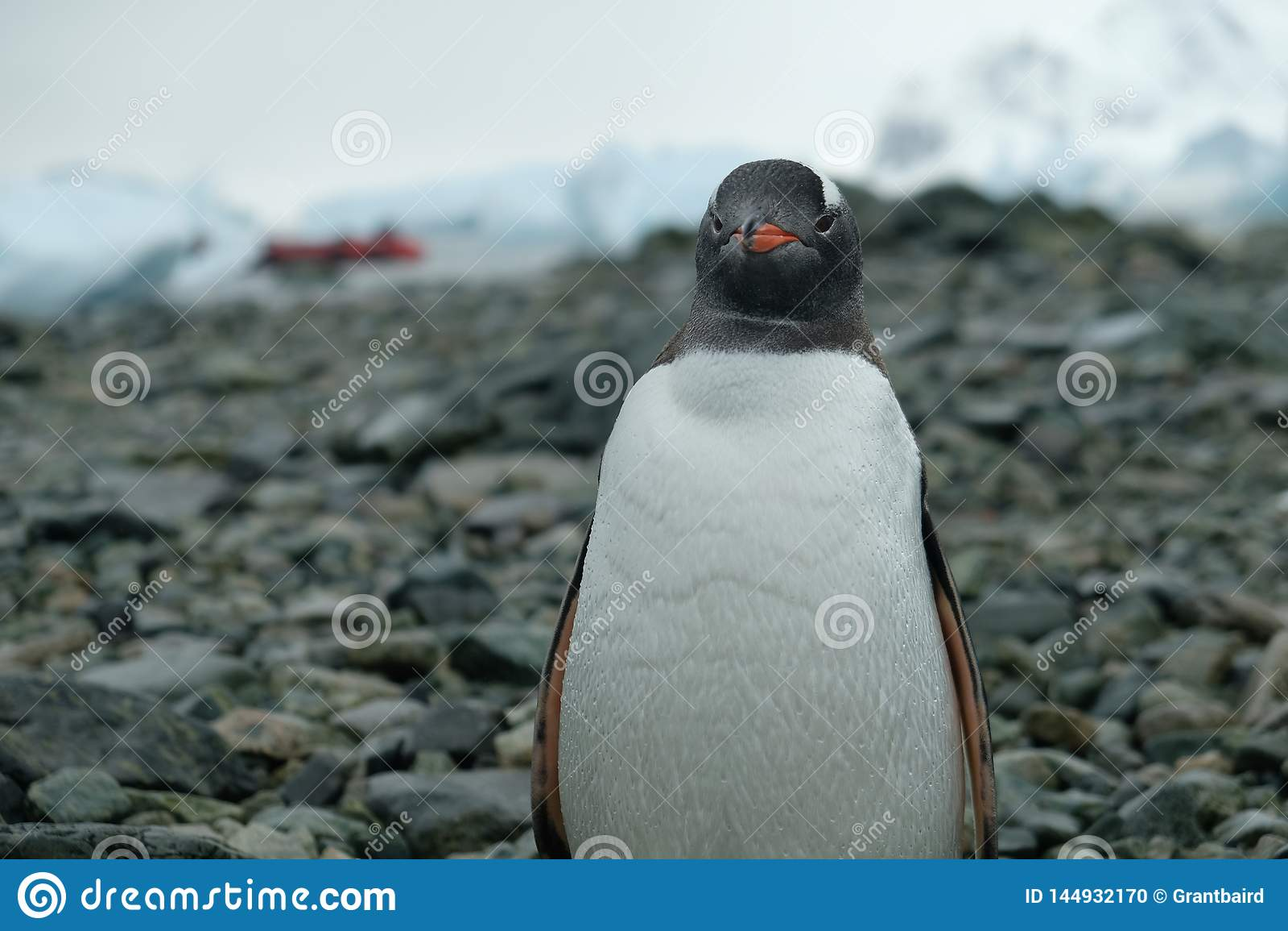 El pingüino de la Antártida Gentoo se coloca en la playa rocosa con descensos del agua en plumas, barco rojo