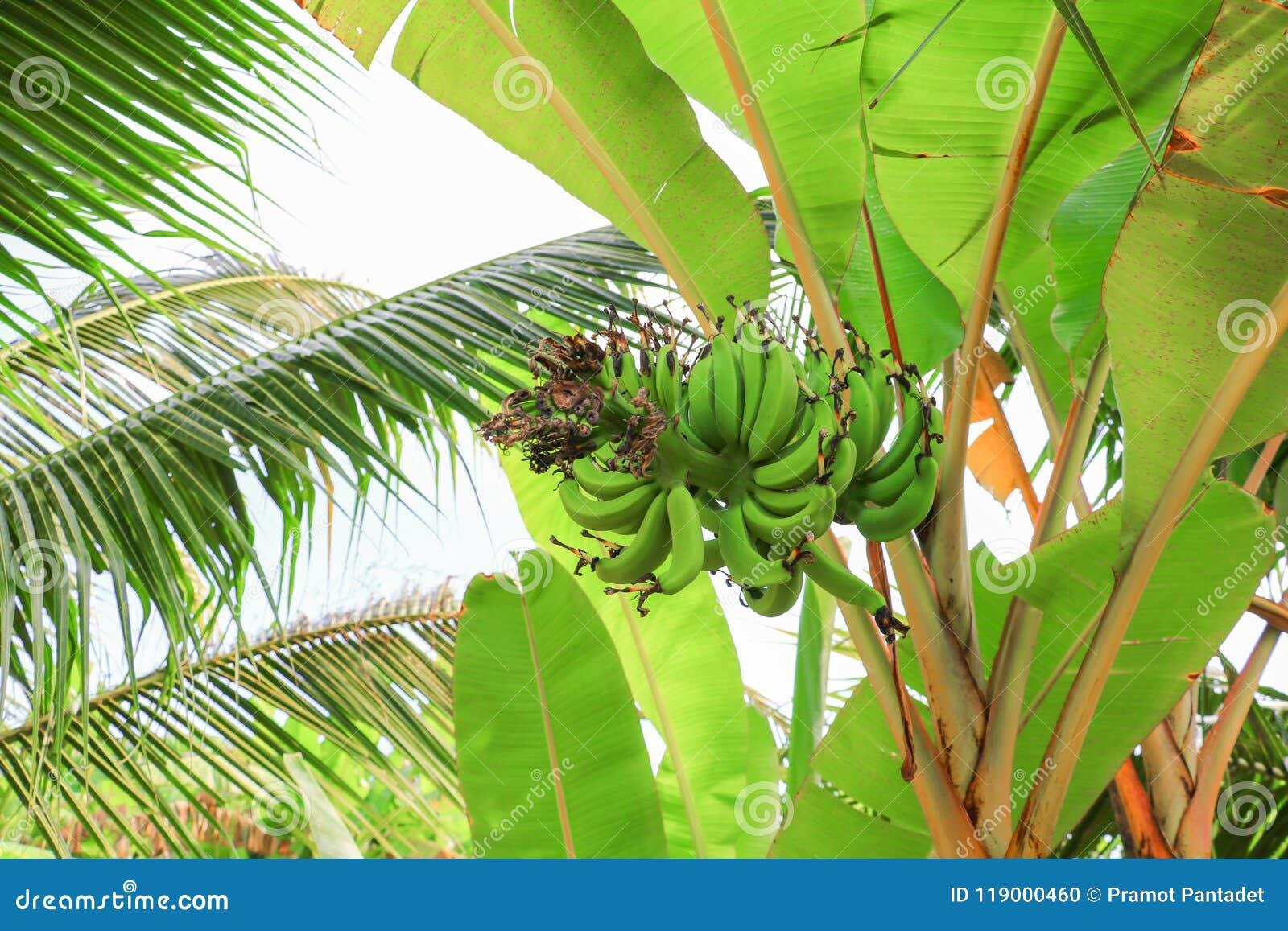 El plátano crudo con un manojo en el árbol con el espacio de la copia añade el texto