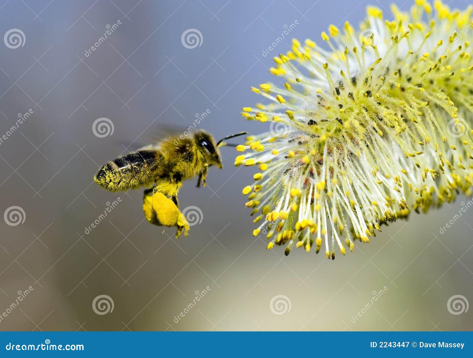 El polen cubrió la abeja