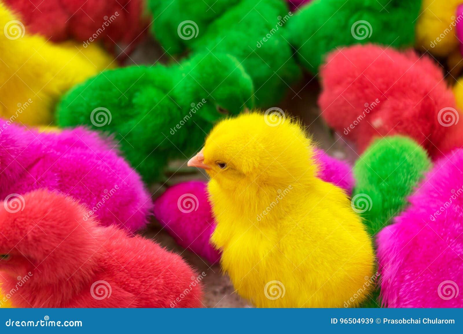 El Pollo, Pollo Lleno Del Color En La Granja, Producción Para Muchos ...