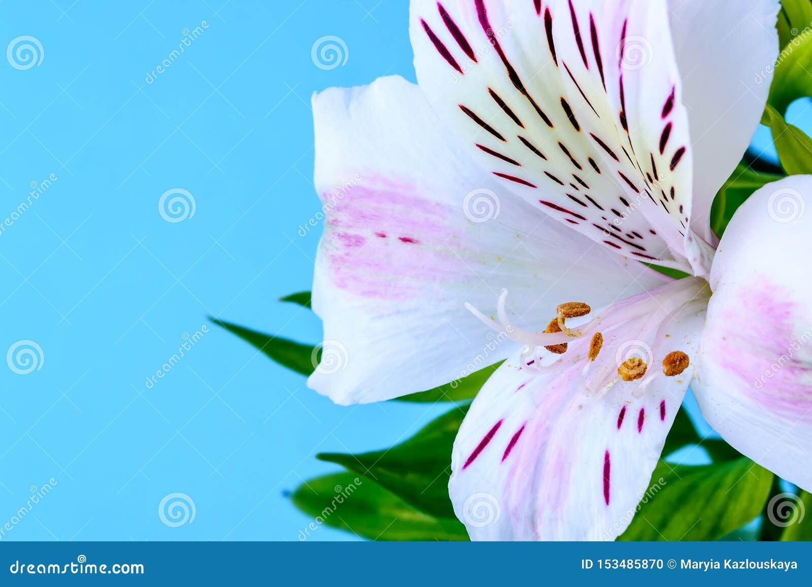 El primer de la flor blanca del alstroemeria, llamó comúnmente el lirio peruano o el lirio de los incas y del espacio de la copia
