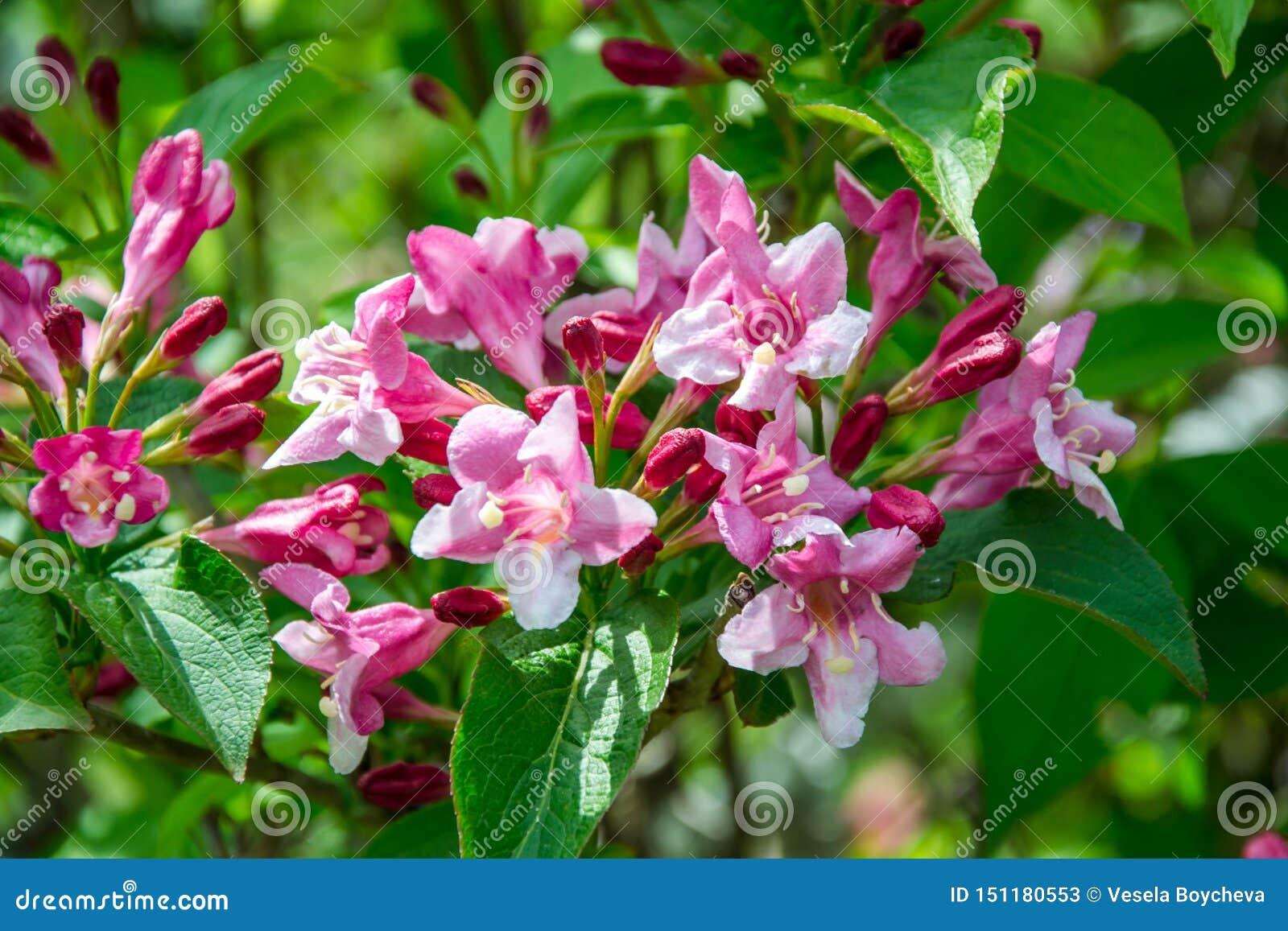 El primer del embudo de Rosea del Weigela formó la flor rosada, las pequeñas flores completamente abiertas y cerradas con las hoj