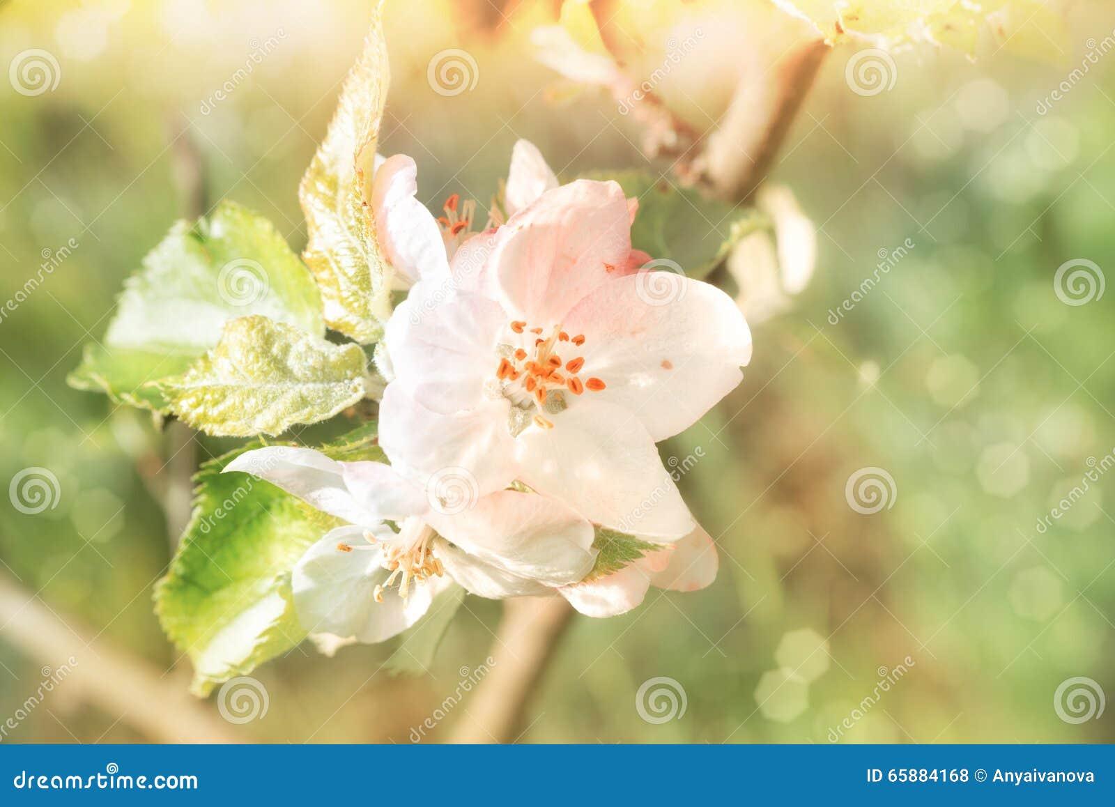 El primer en manzana florece en fondo abstracto de la primavera