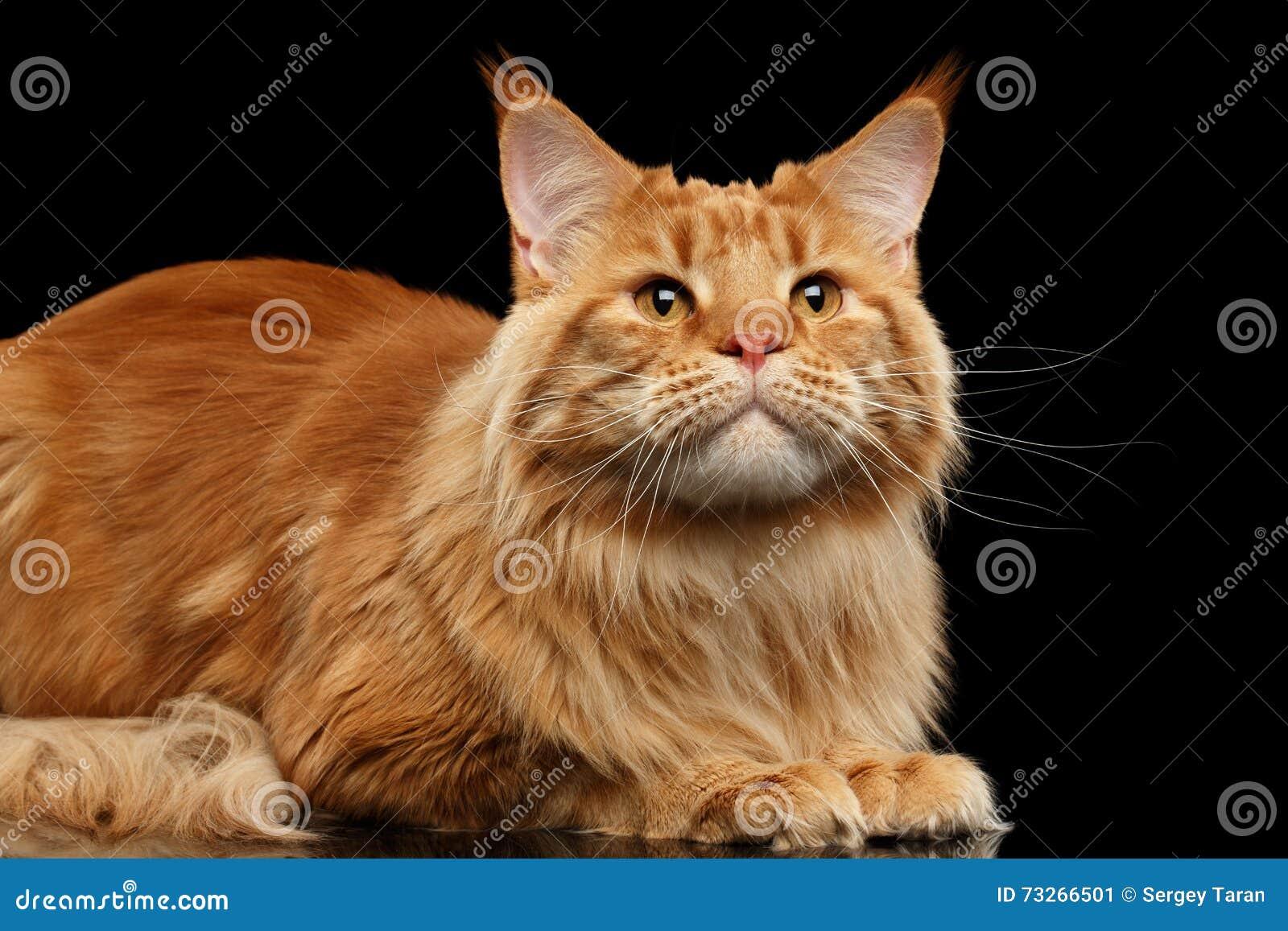 El primer Ginger Maine Coon Cat Lying, mirando para arriba, aisló negro