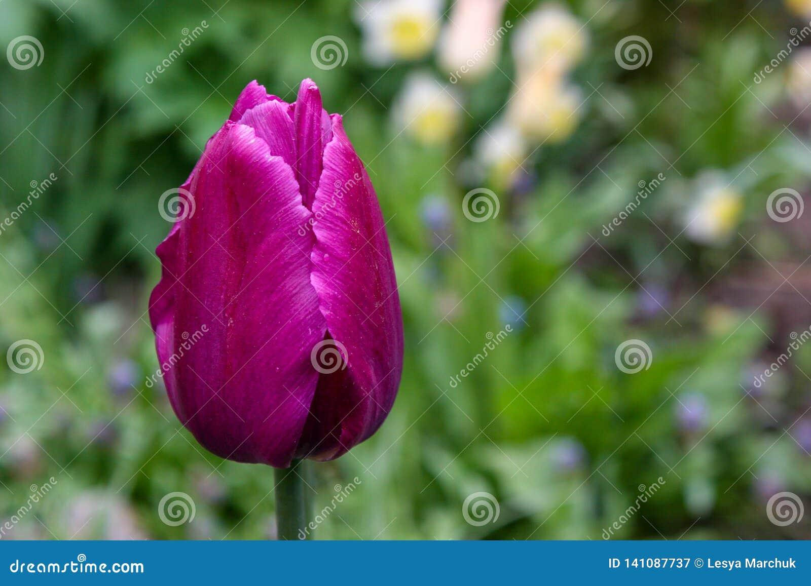 El primer hermoso del tulipán, tulipanes de las flores de la primavera florece en el jardín, tulipanes púrpuras