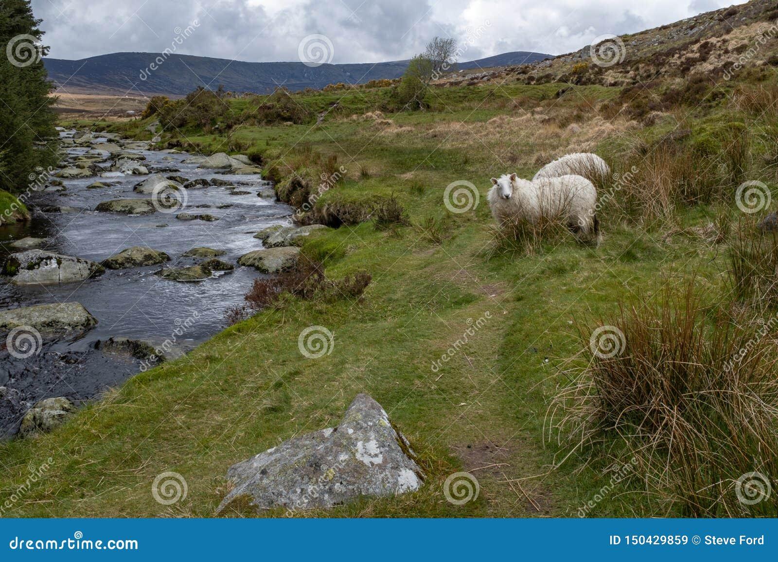 El r?o Iffey que atraviesa el Wicklow Gap en el condado Wicklow, Irlanda, oveja que mira fijamente la c?mara