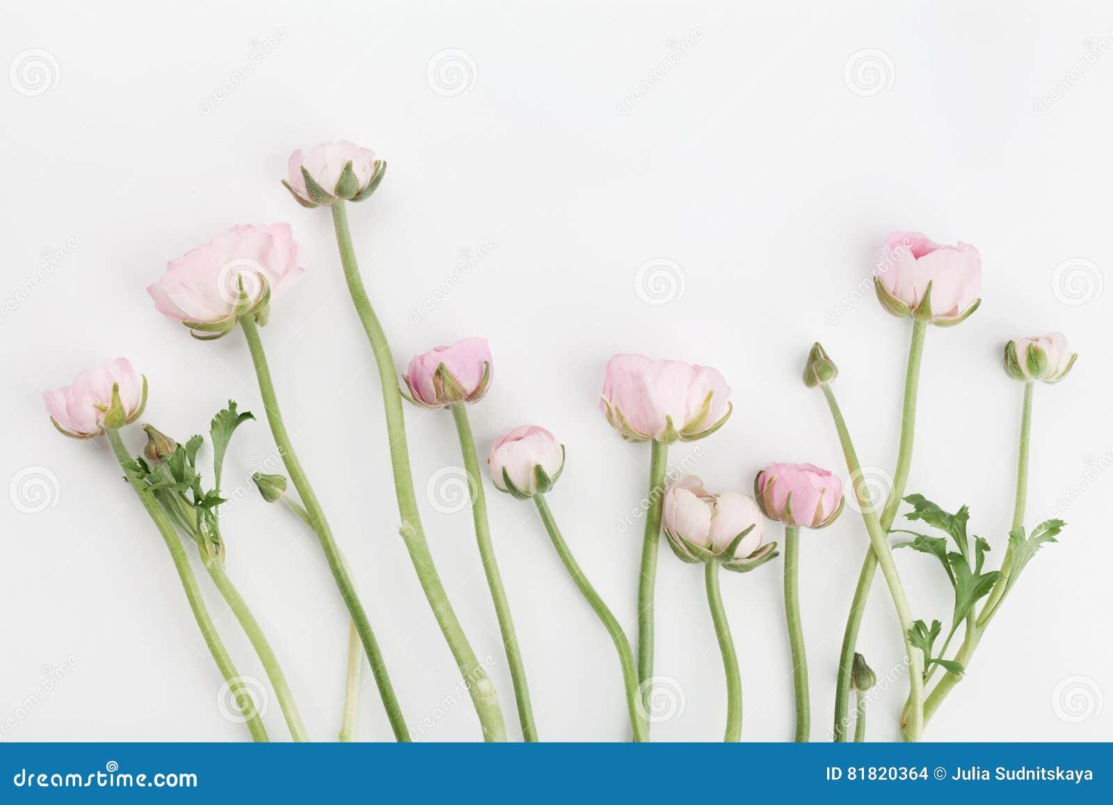 El ranúnculo hermoso de la primavera florece en el fondo blanco desde arriba Frontera floral rosada Color en colores pastel Maque