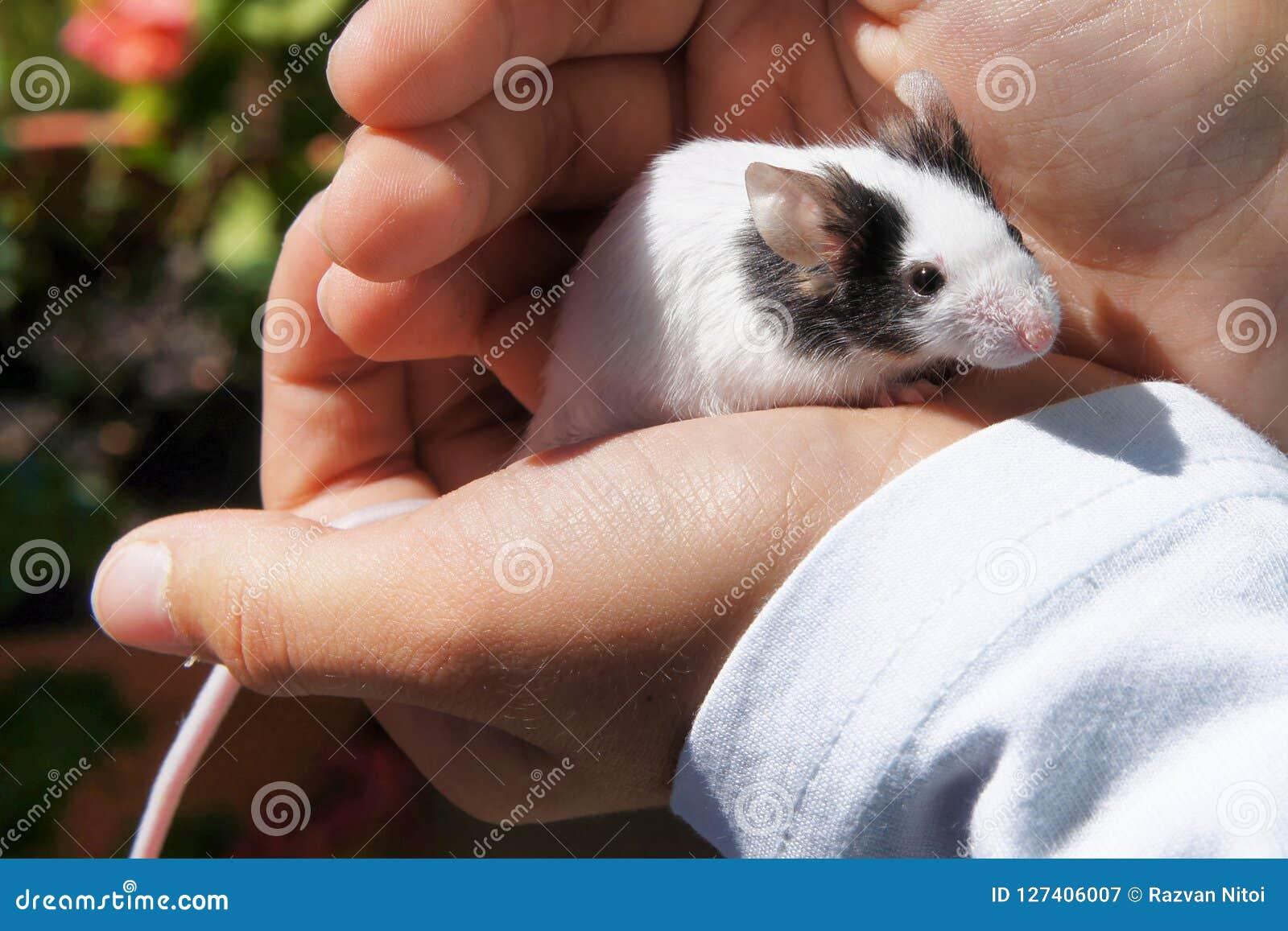 El ratón blanco se sostuvo en manos del ` s del niño