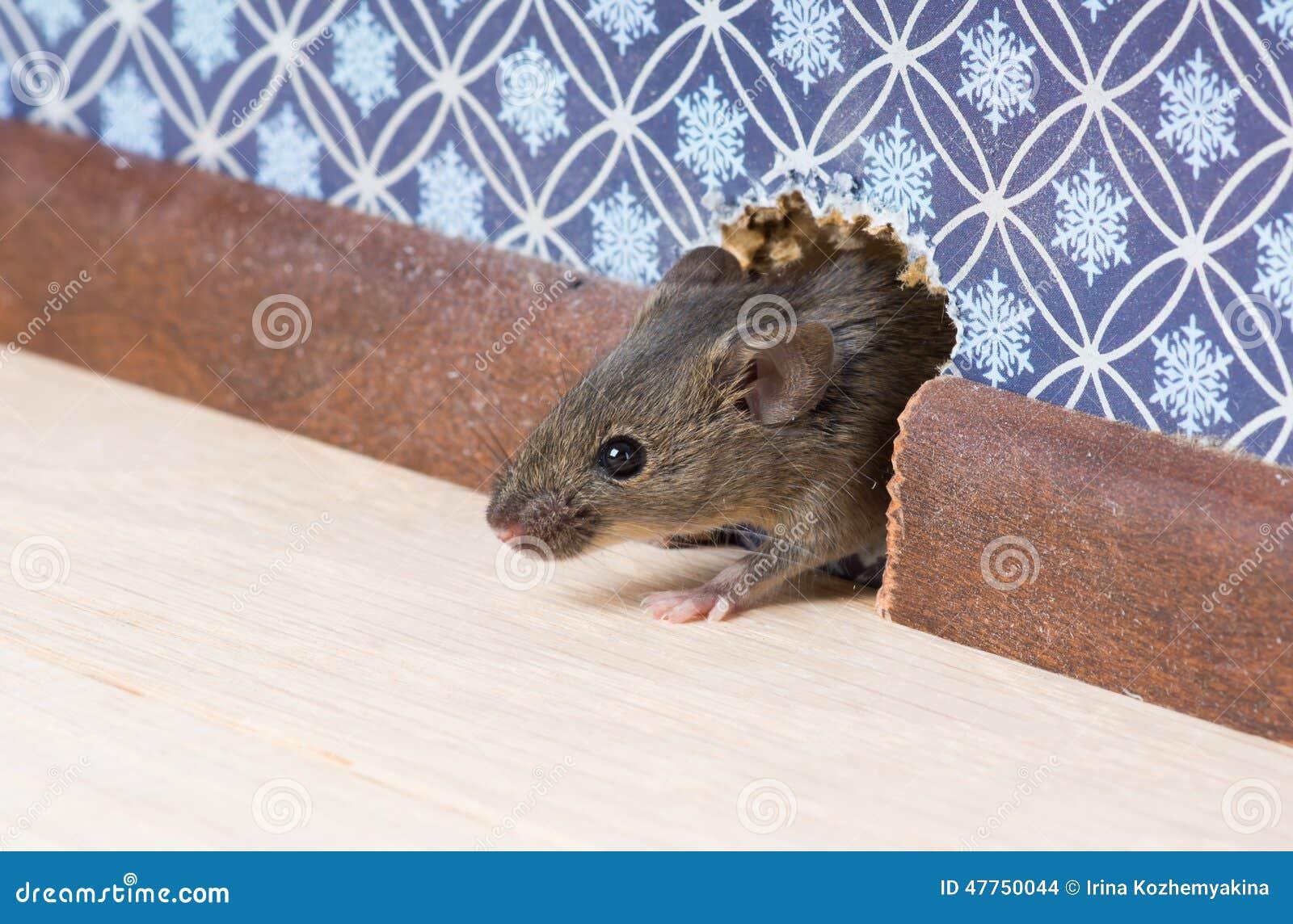 El rat n de casa musculus de mus consigue en el cuarto a trav s de un agujero en la pared foto - Raton en casa ...