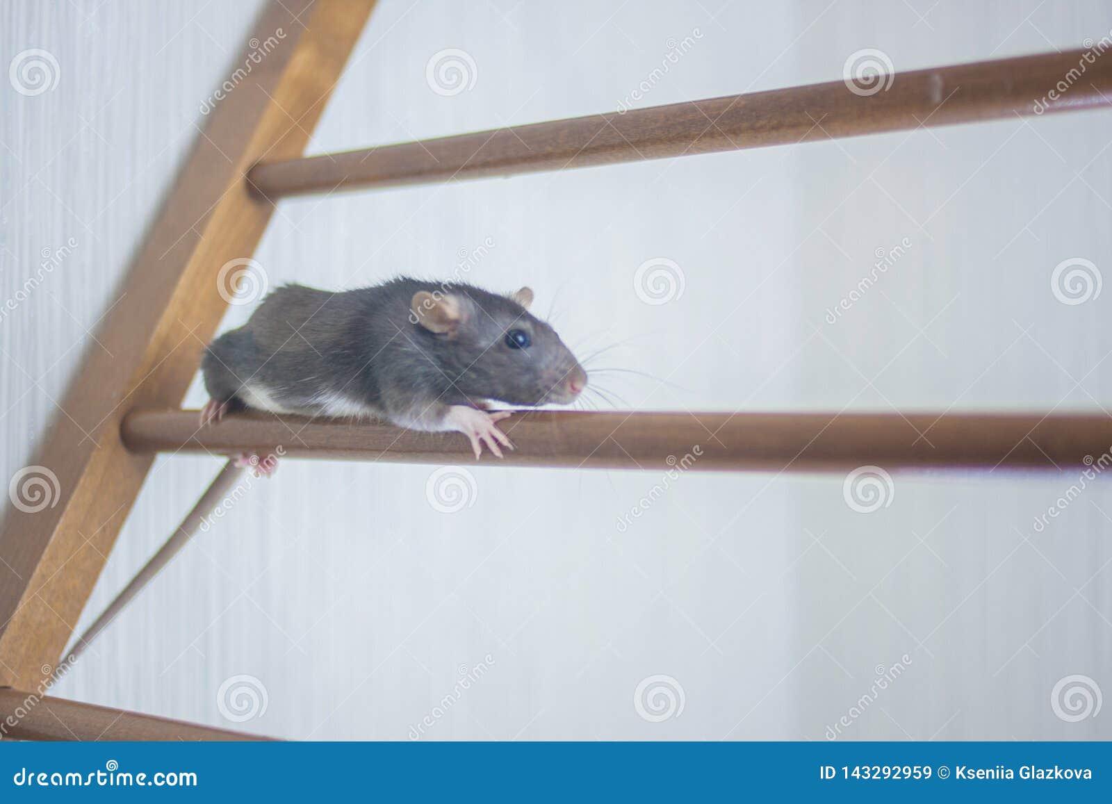 El ratón, rata gris linda sube la escalera de la carrera upward