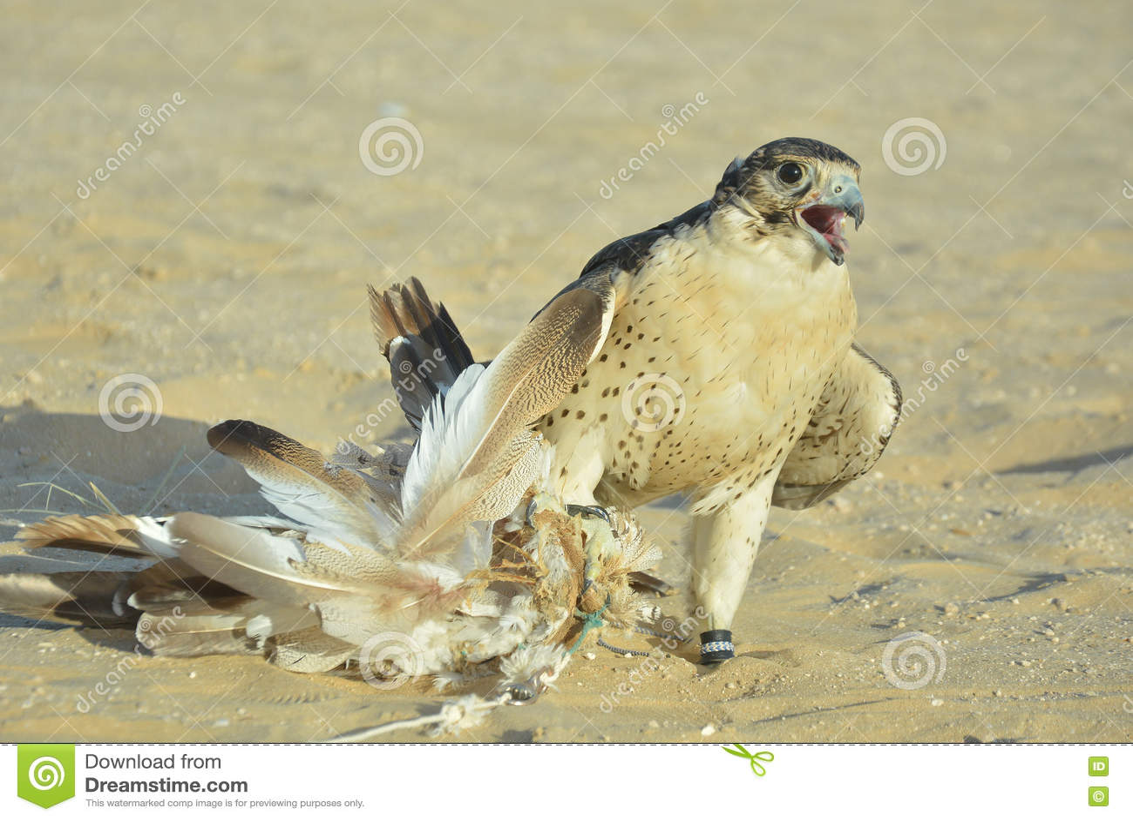 El retrato de un halcón domesticado del desierto catched la trampa