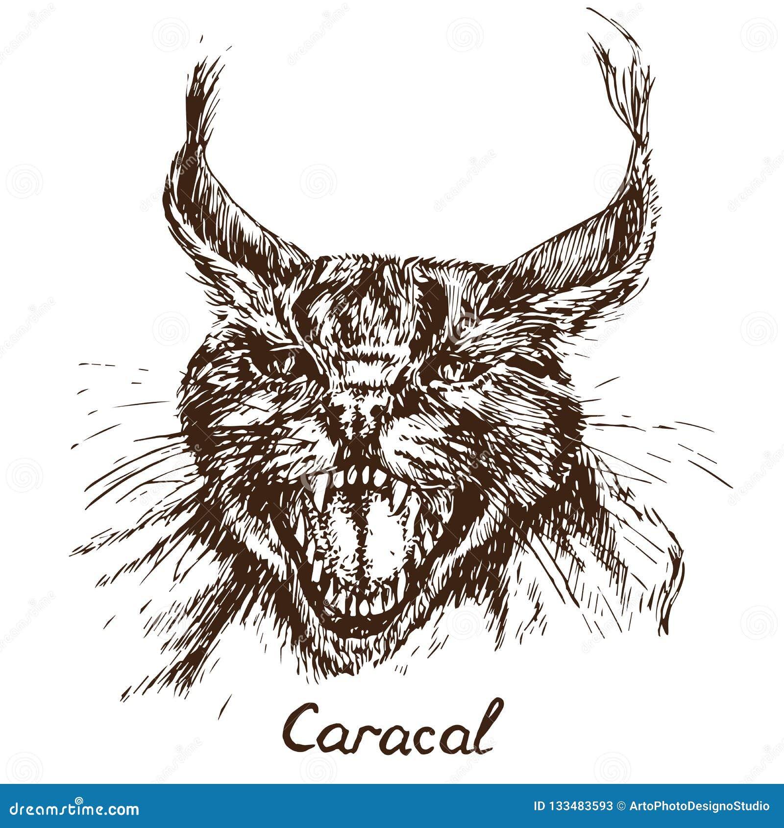 El retrato rojo del gato, del rooikat, rojo o persa de Caracal del lince el gruñir, ha abierto una boca amargada, colmillos
