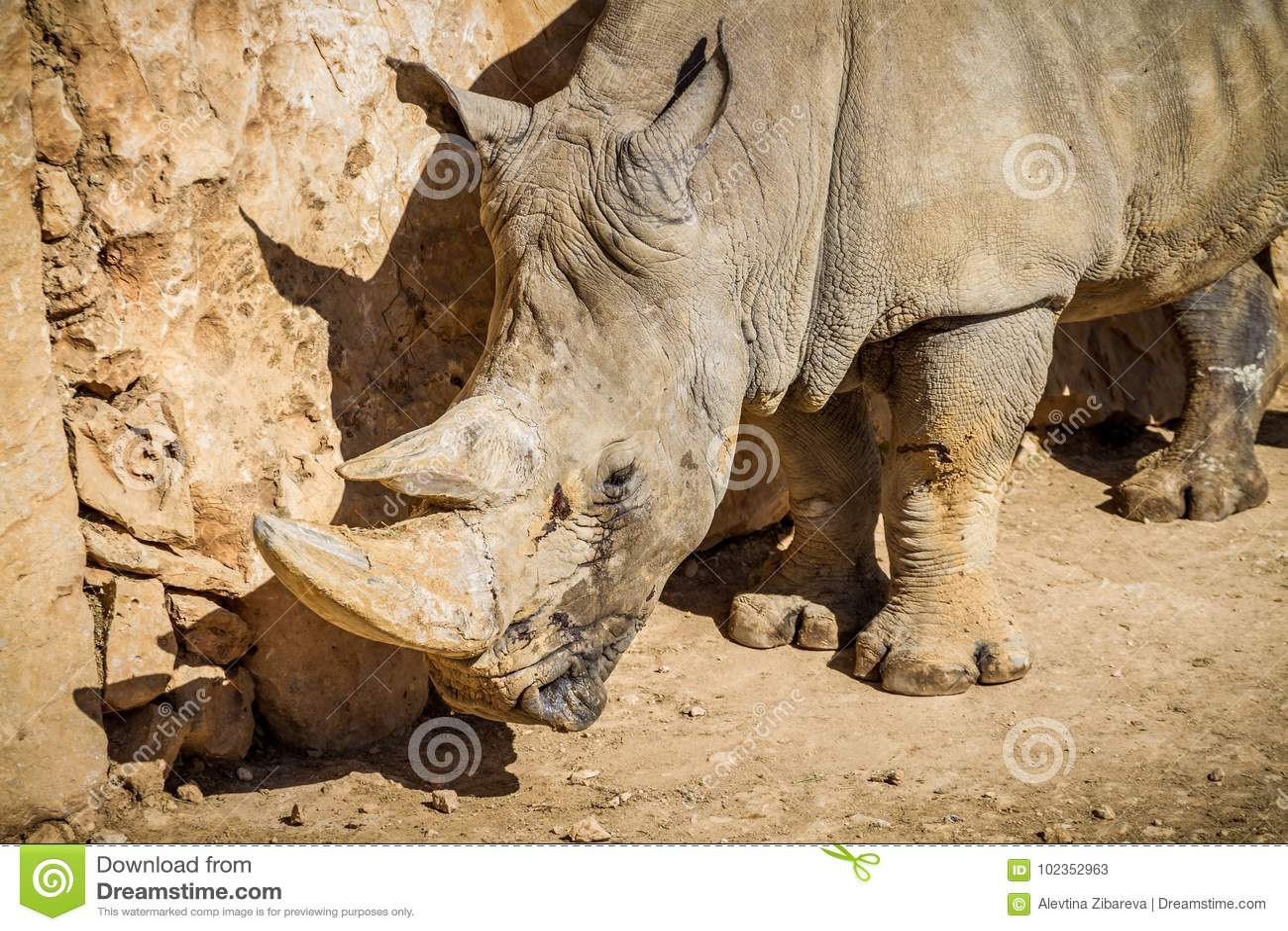 El rinoceronte, parque zoológico bíblico de Jerusalén en Israel